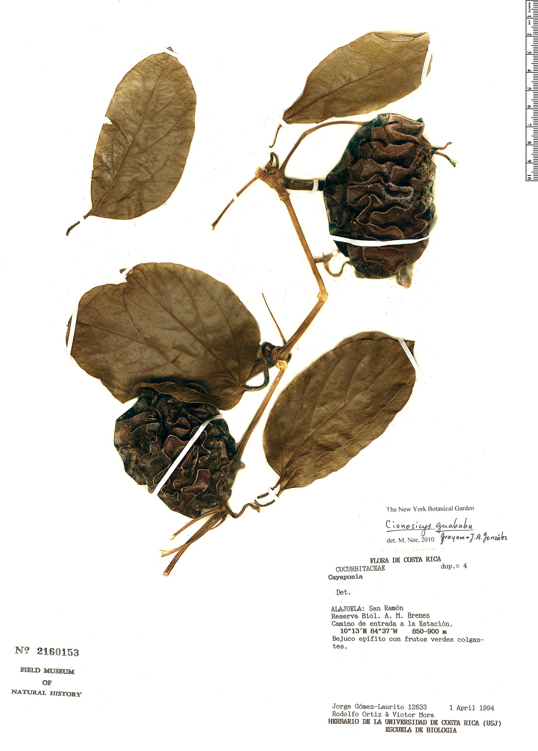 Espécime: Cionosicys guabubu