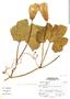 Cucurbita ficifolia image