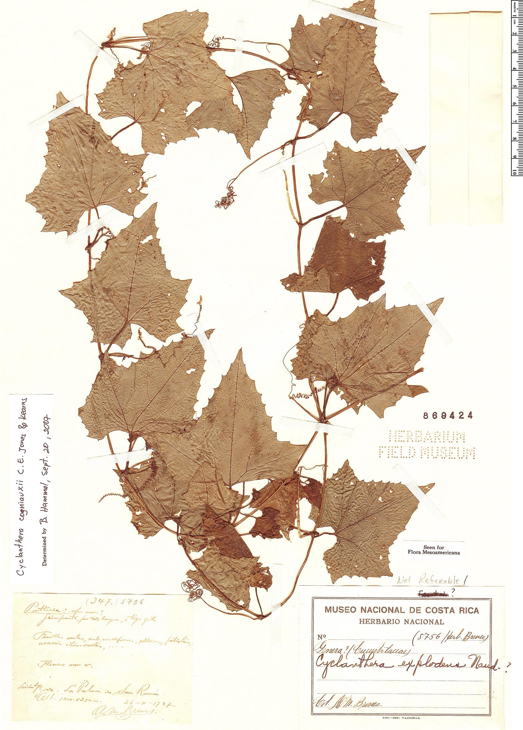 Specimen: Cyclanthera cogniauxii