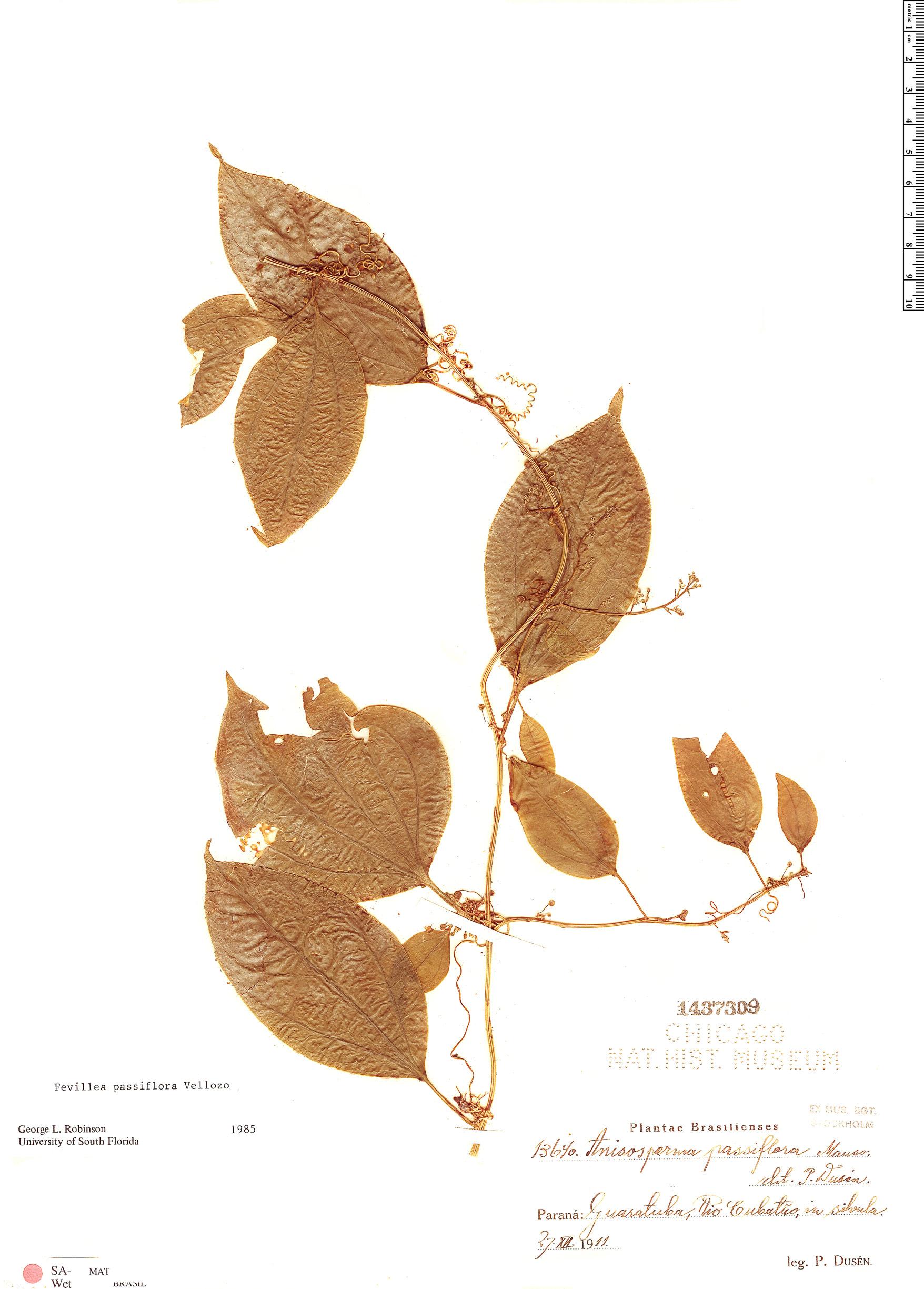 Specimen: Fevillea passiflora