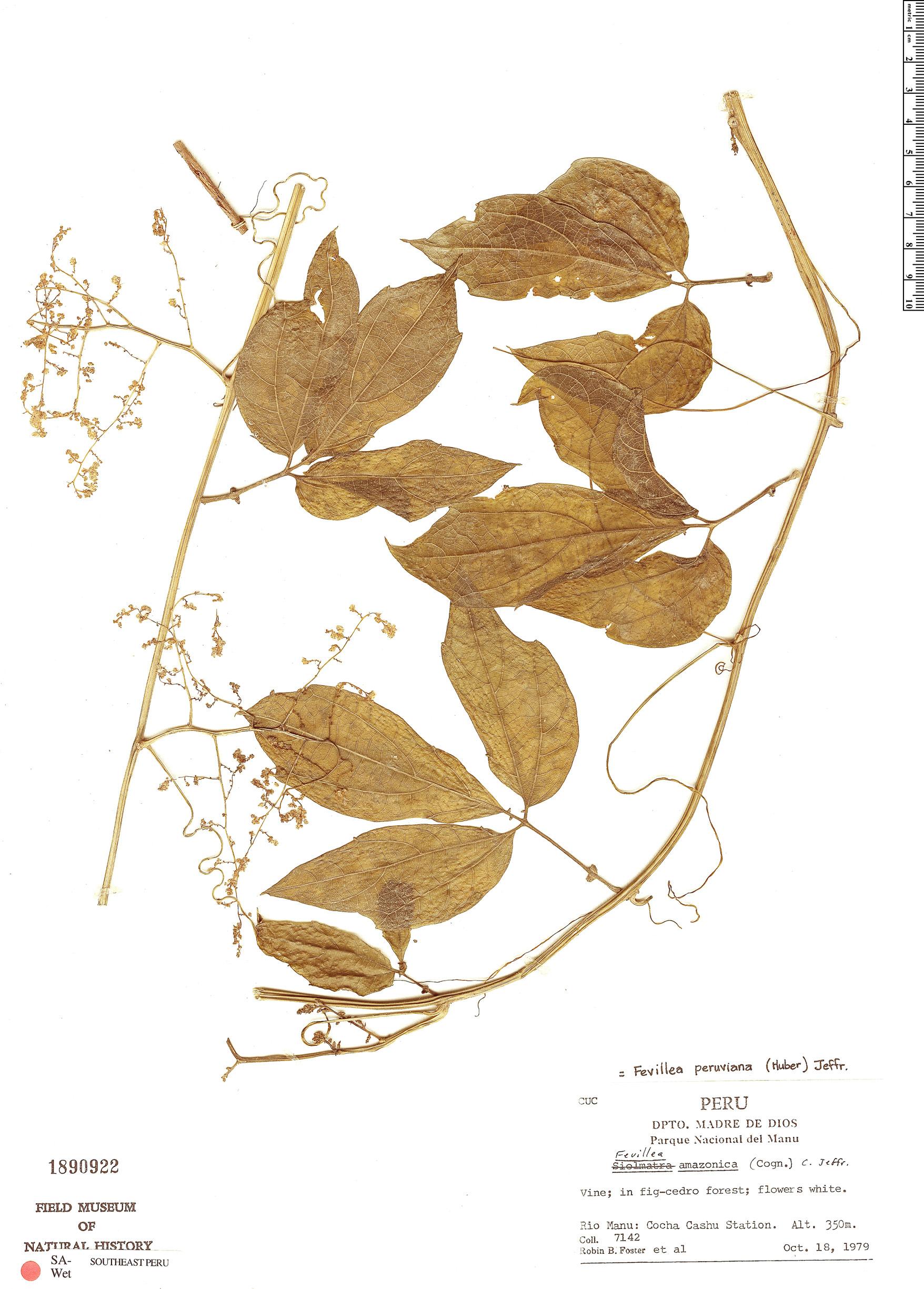 Specimen: Fevillea pedatifolia