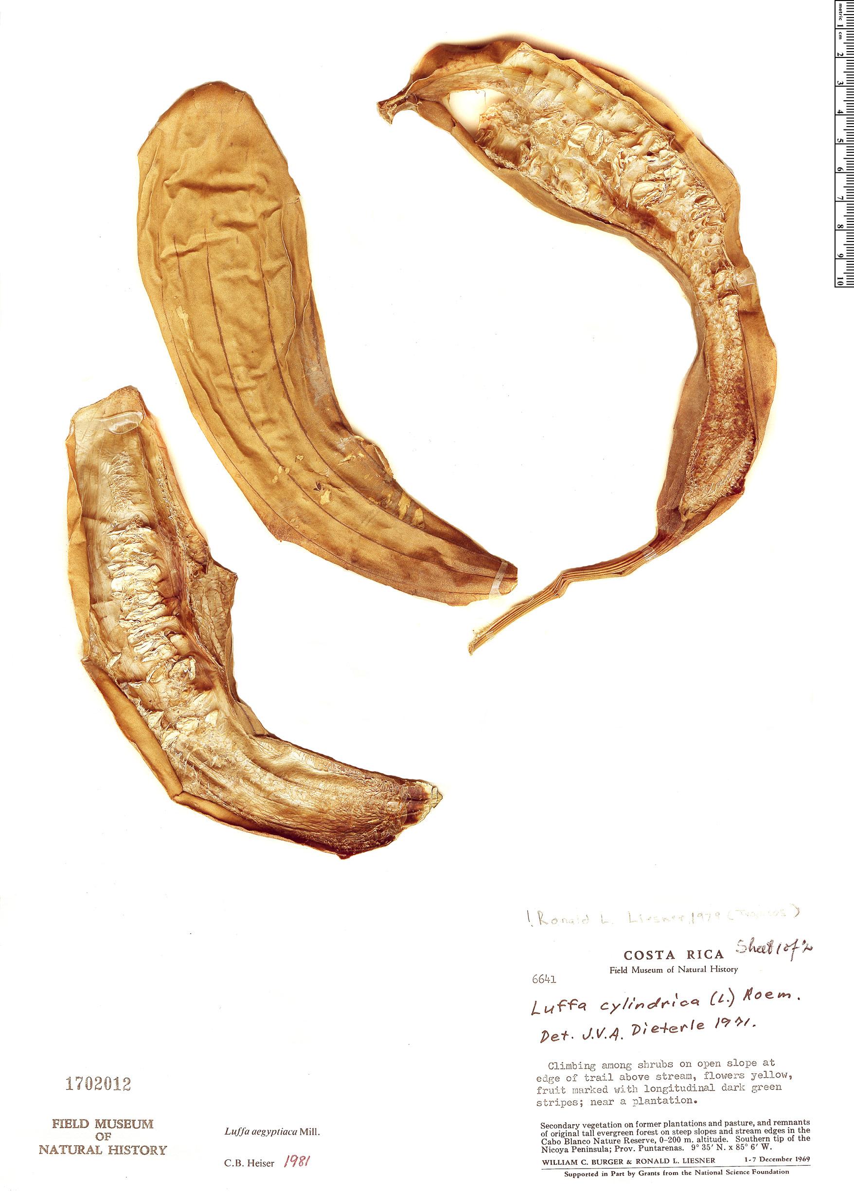 Specimen: Luffa cylindrica