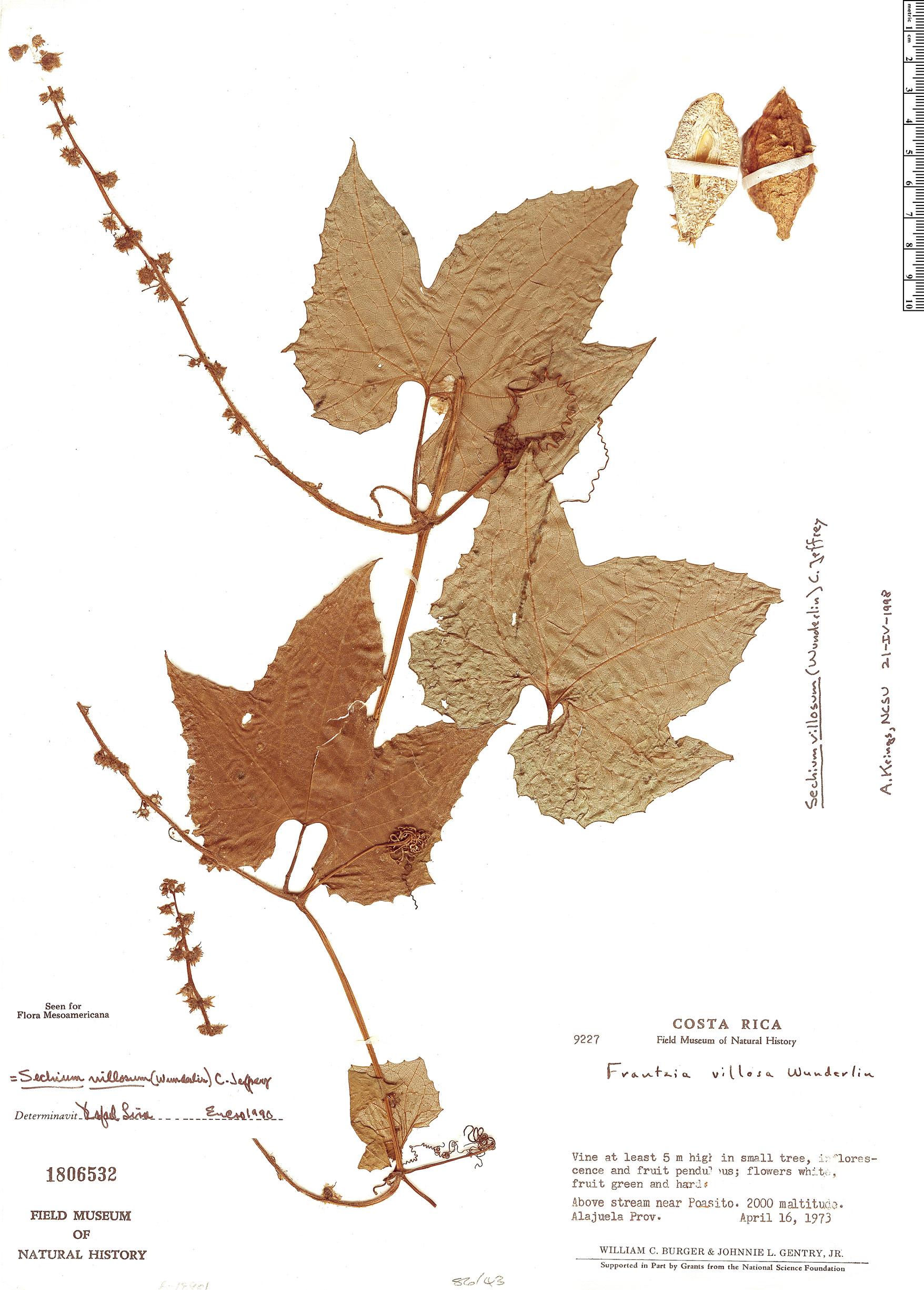 Specimen: Sechium villosum