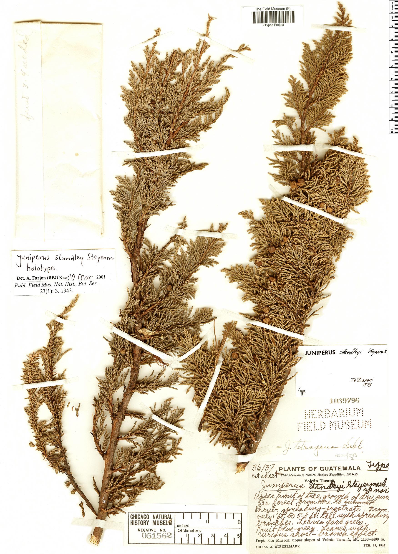 Specimen: Juniperus standleyi