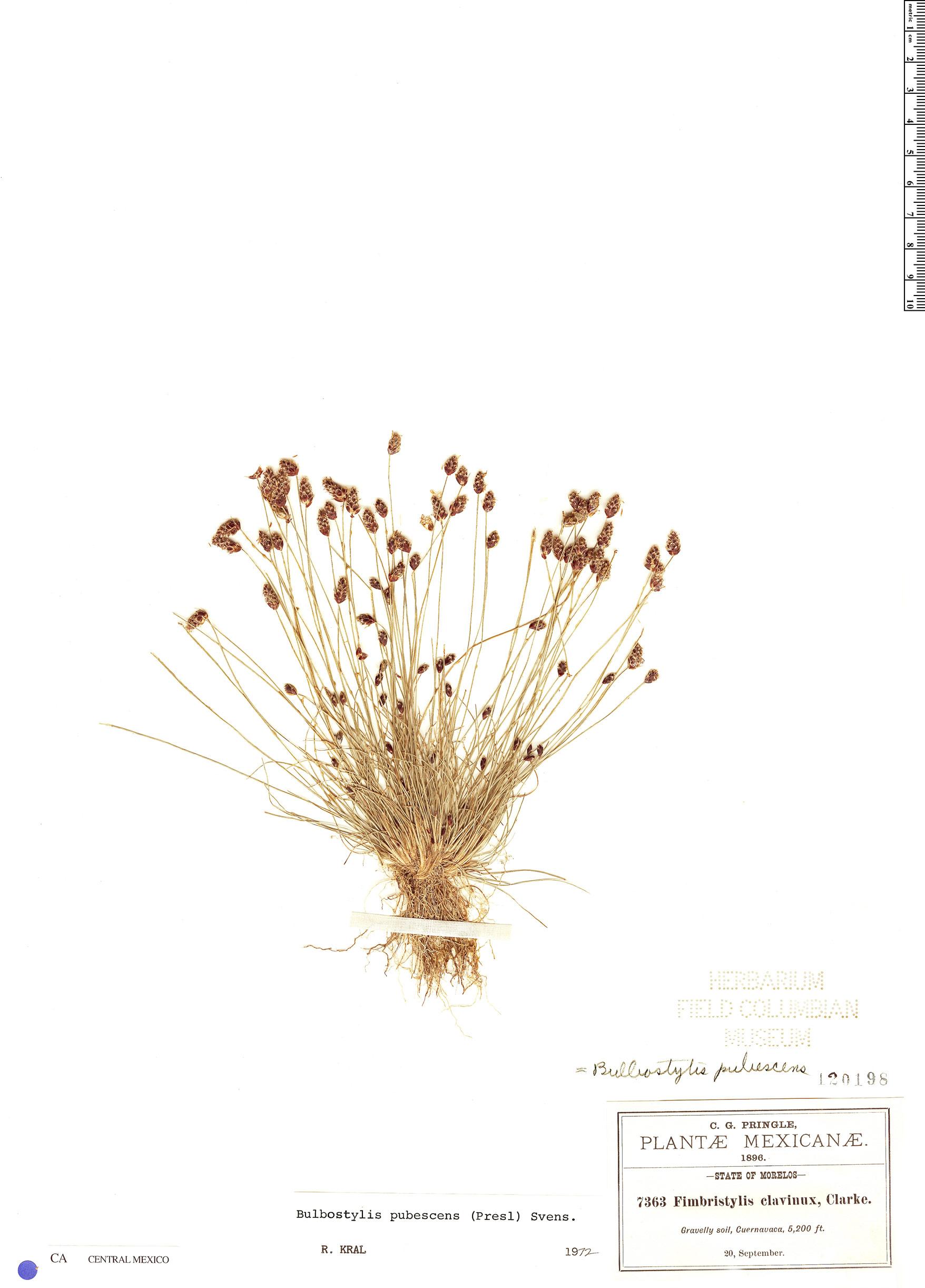 Espécime: Bulbostylis pubescens