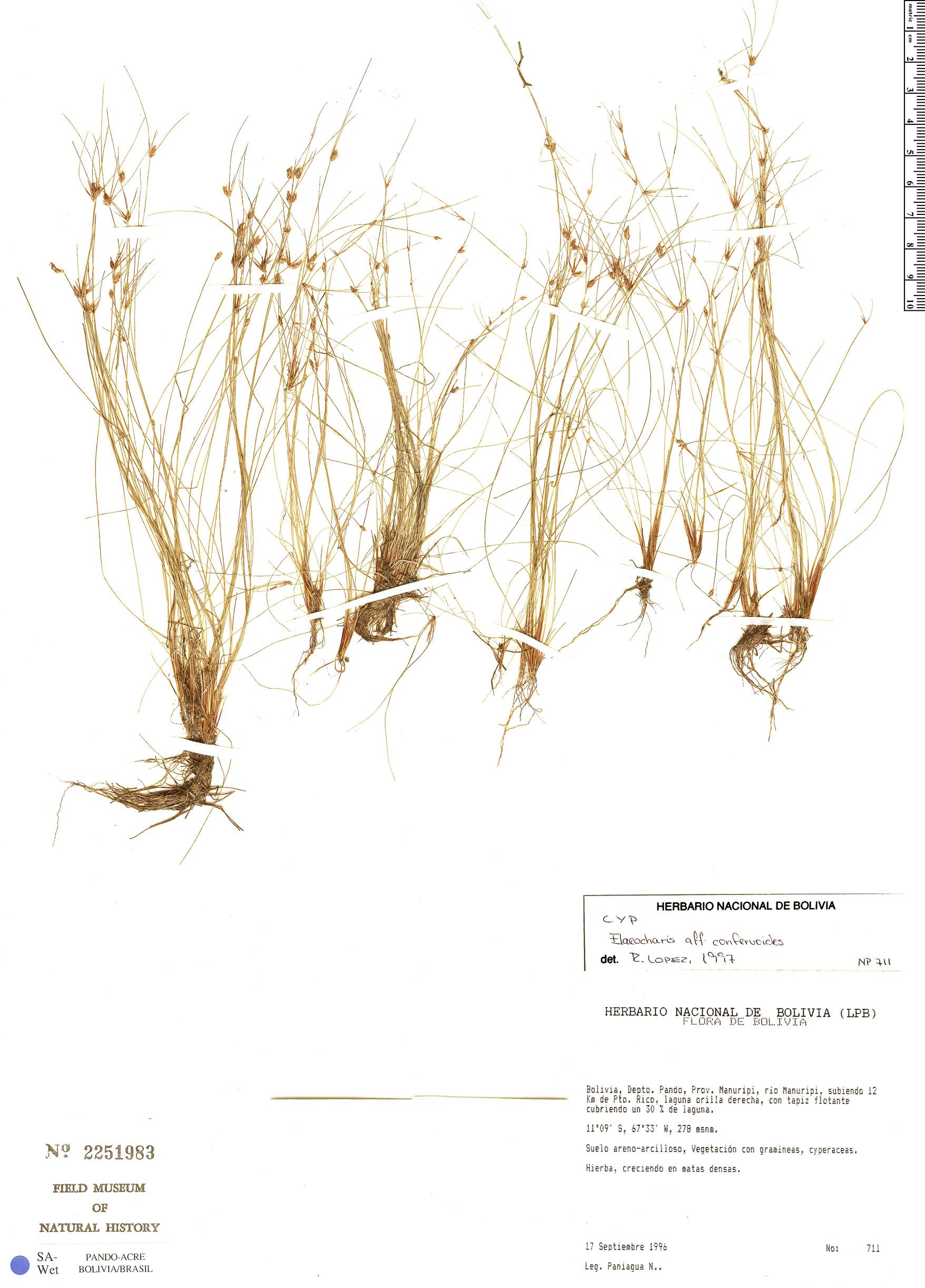 Specimen: Eleocharis confervoides