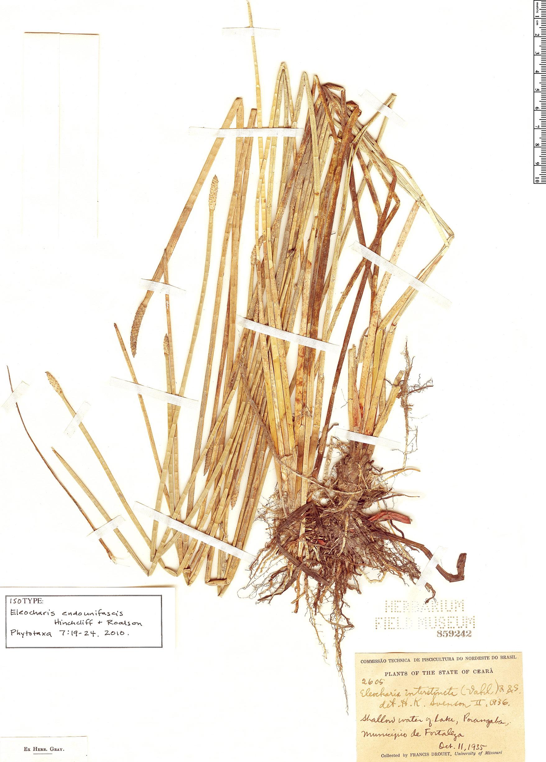 Specimen: Eleocharis endounifascis