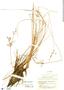 Fimbristylis ferruginea image