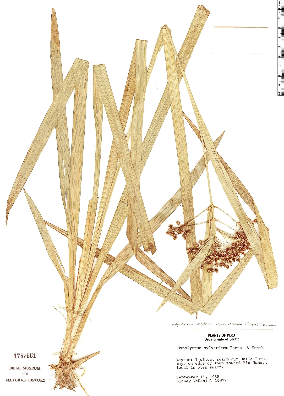 Specimen: Hypolytrum longifolium
