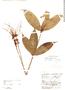 Mapania assimilis image
