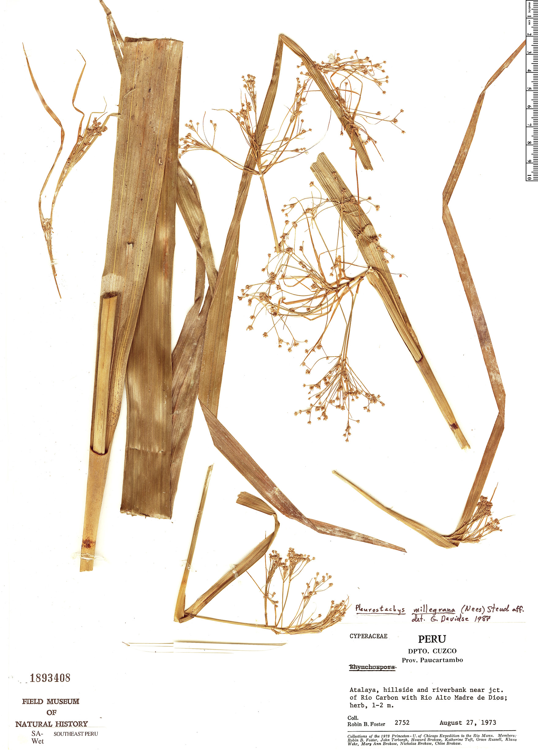 Specimen: Pleurostachys millegrana