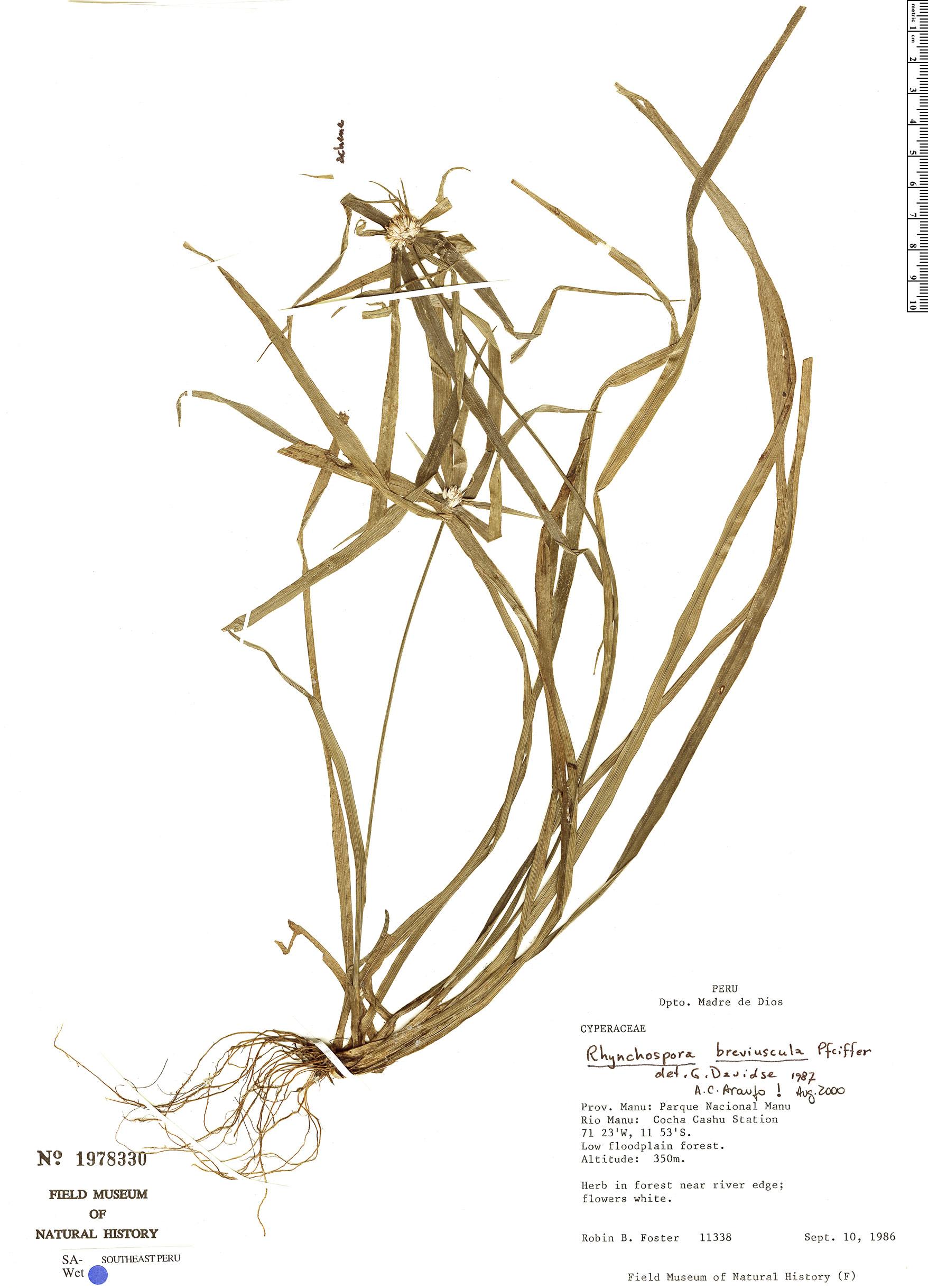 Specimen: Rhynchospora breviuscula