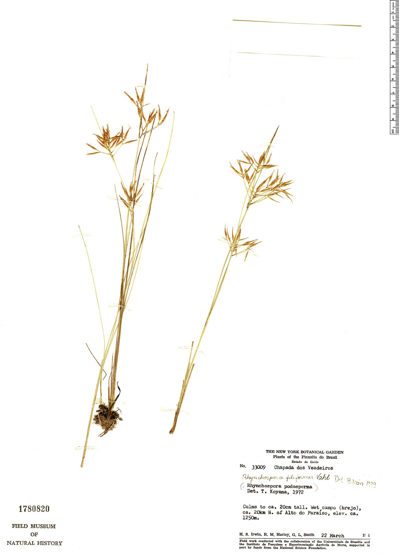 Rhynchospora filiformis image