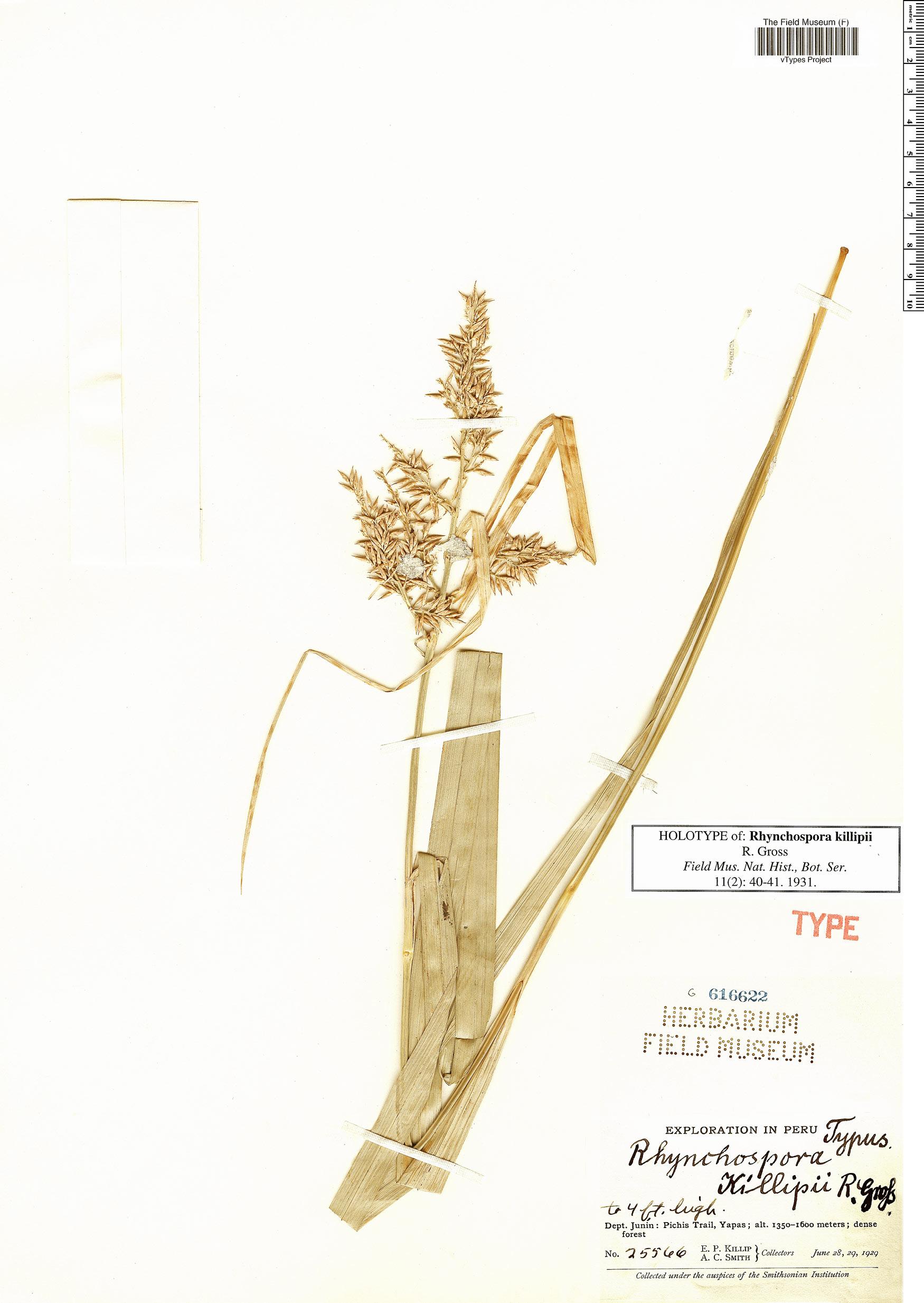 Specimen: Rhynchospora killipii