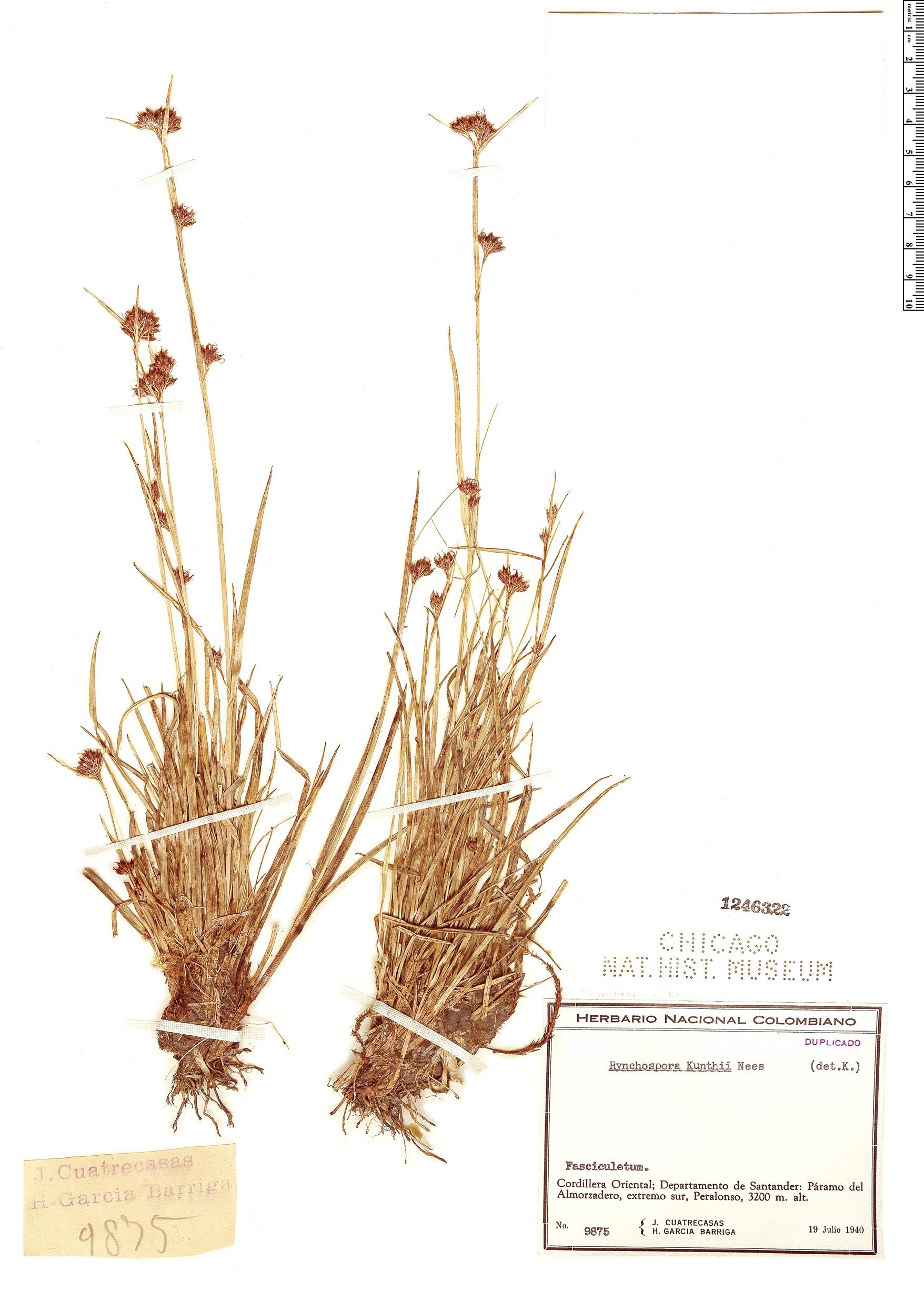 Specimen: Rhynchospora kunthii