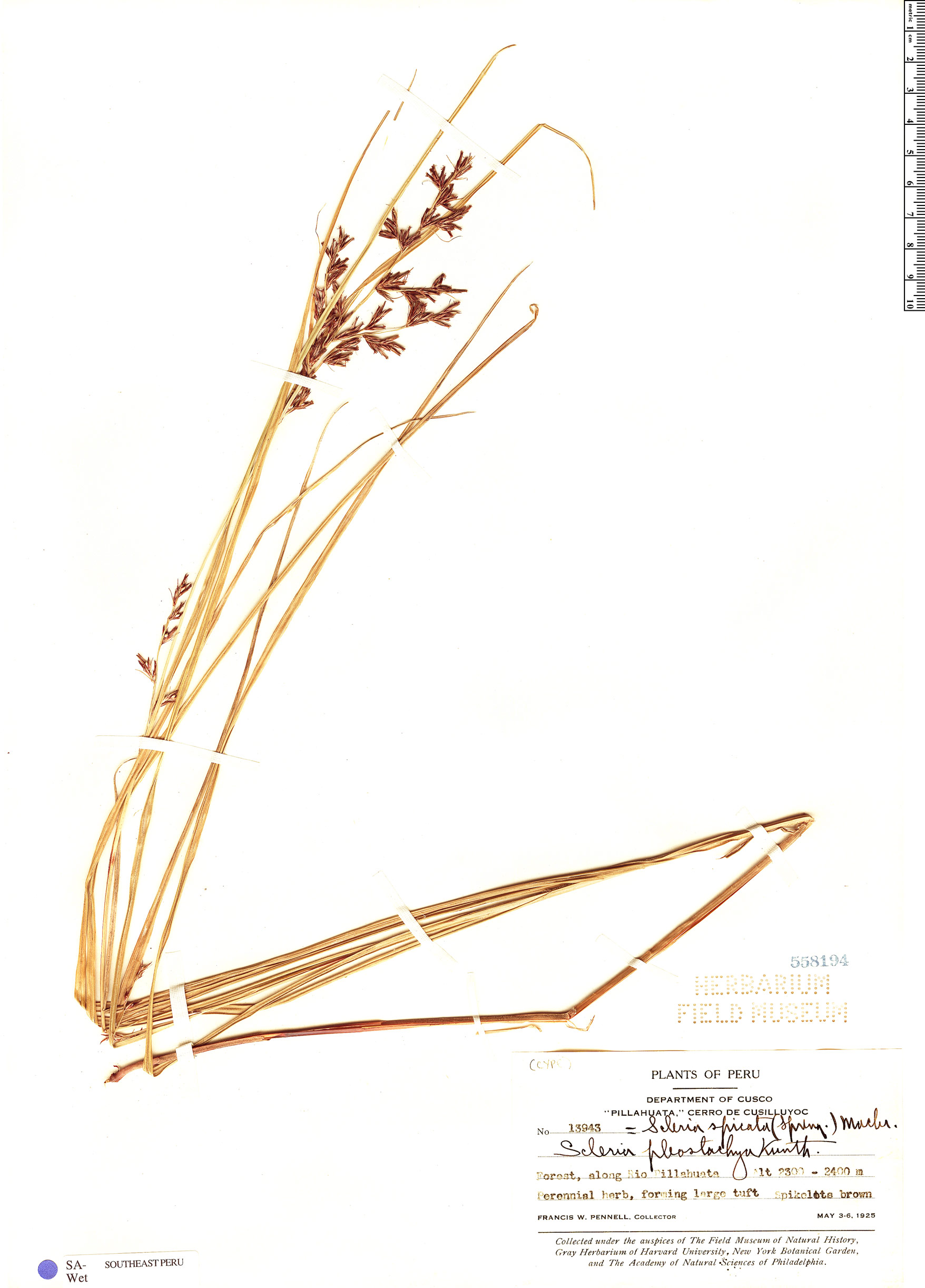 Specimen: Scleria spicata