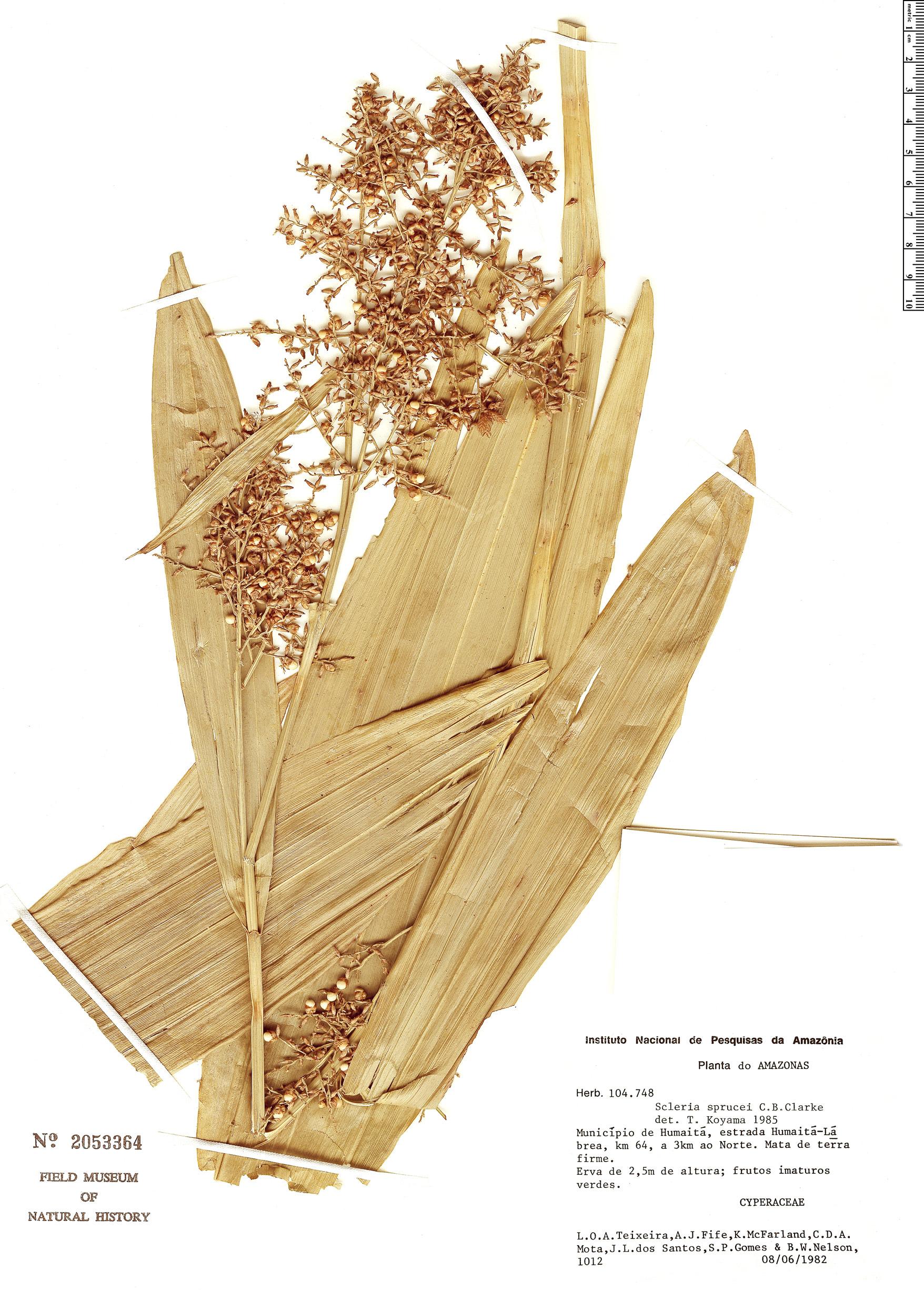 Specimen: Scleria sprucei