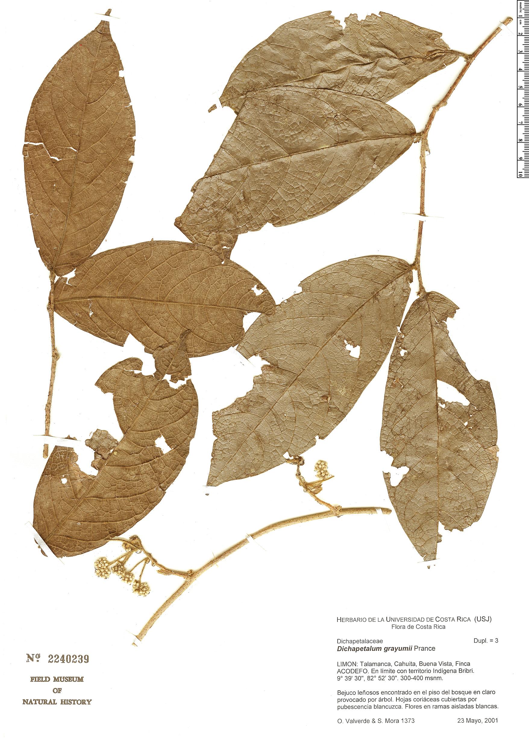 Specimen: Dichapetalum grayumii