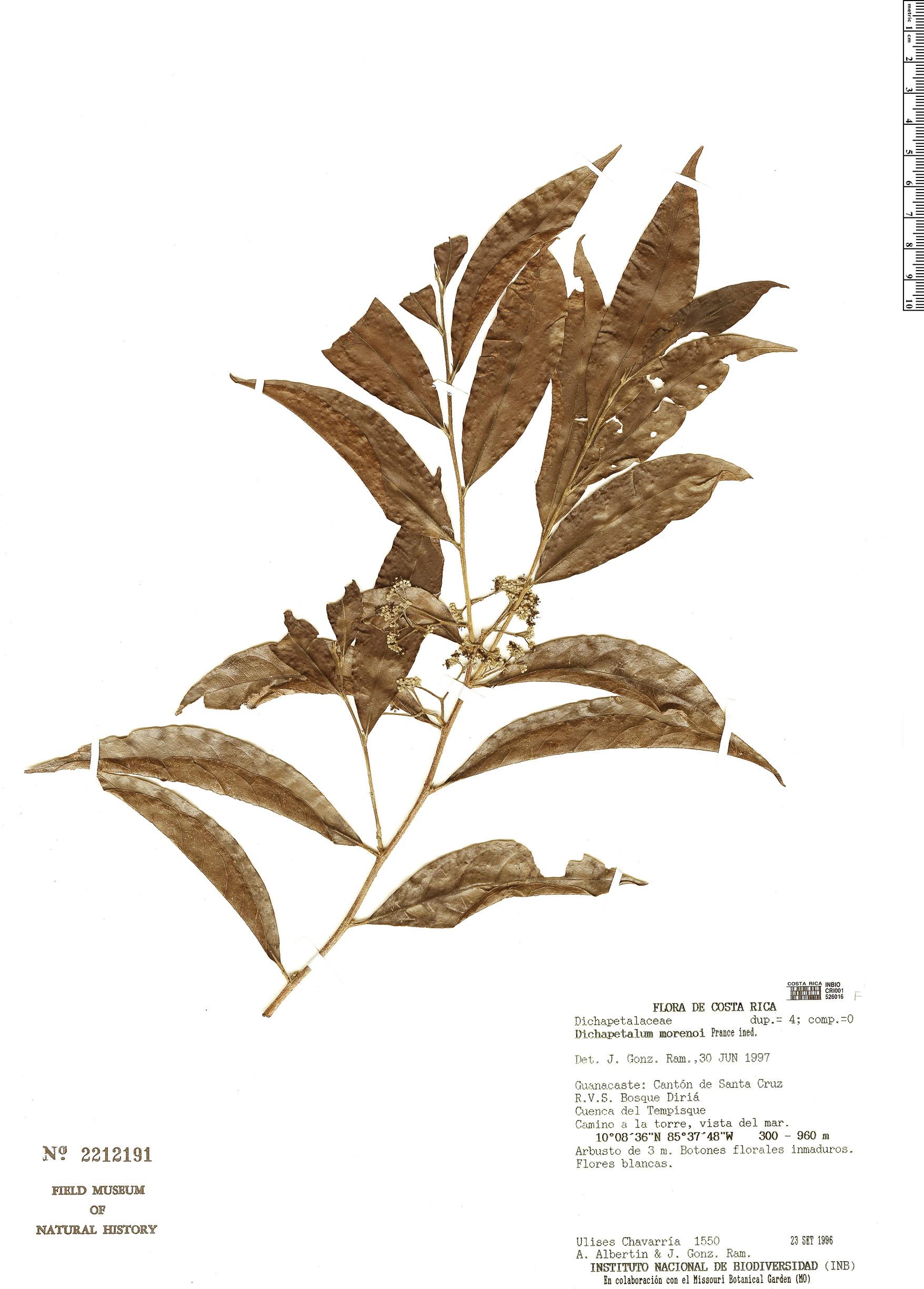 Specimen: Dichapetalum morenoi