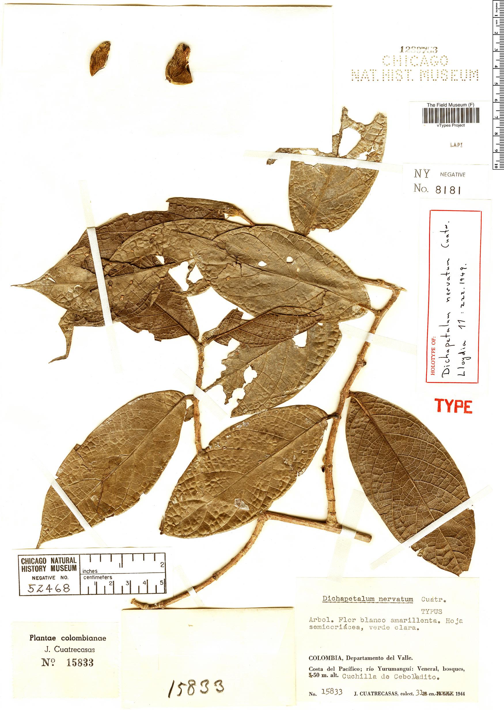 Specimen: Dichapetalum nervatum