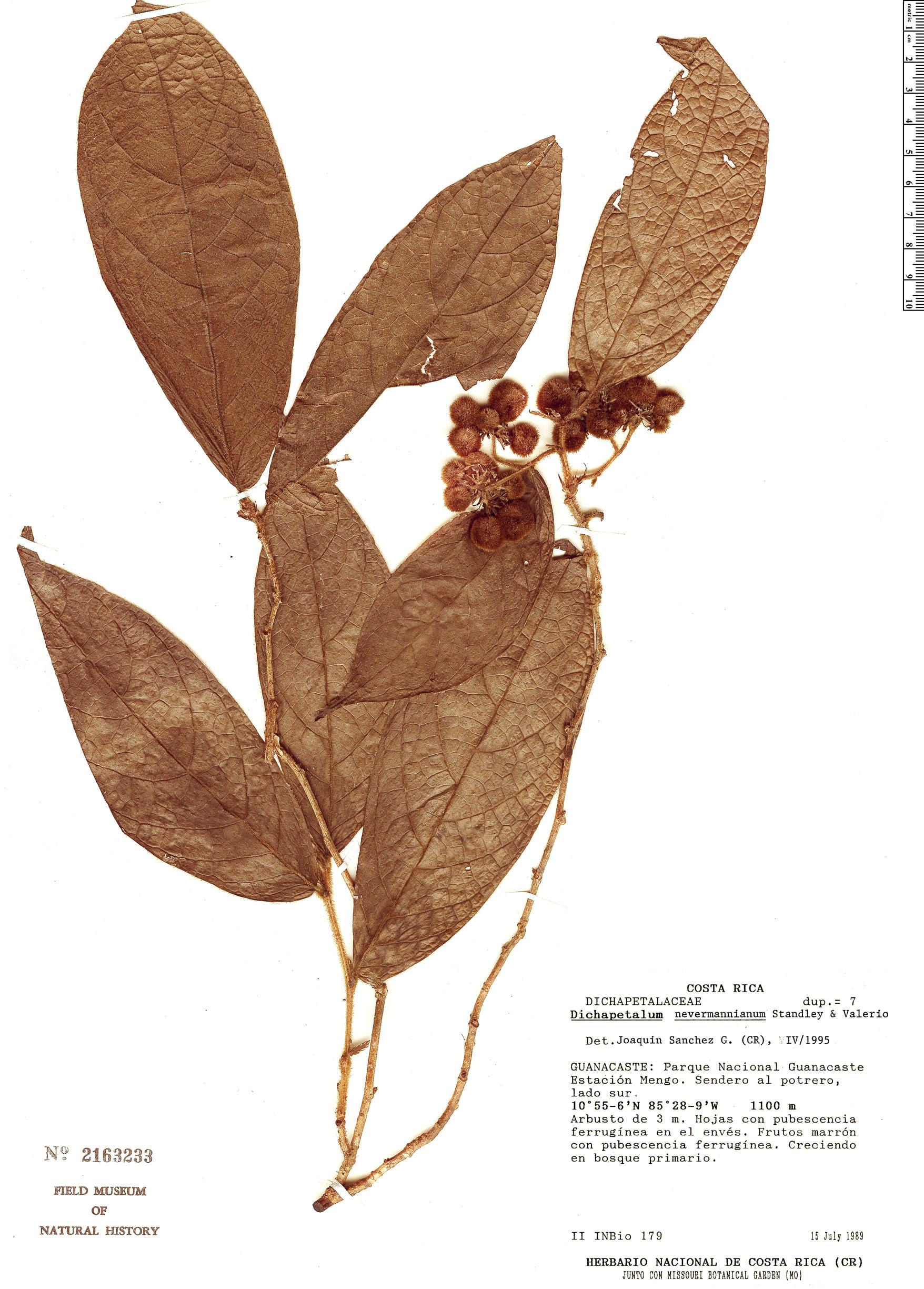Specimen: Dichapetalum nevermannianum
