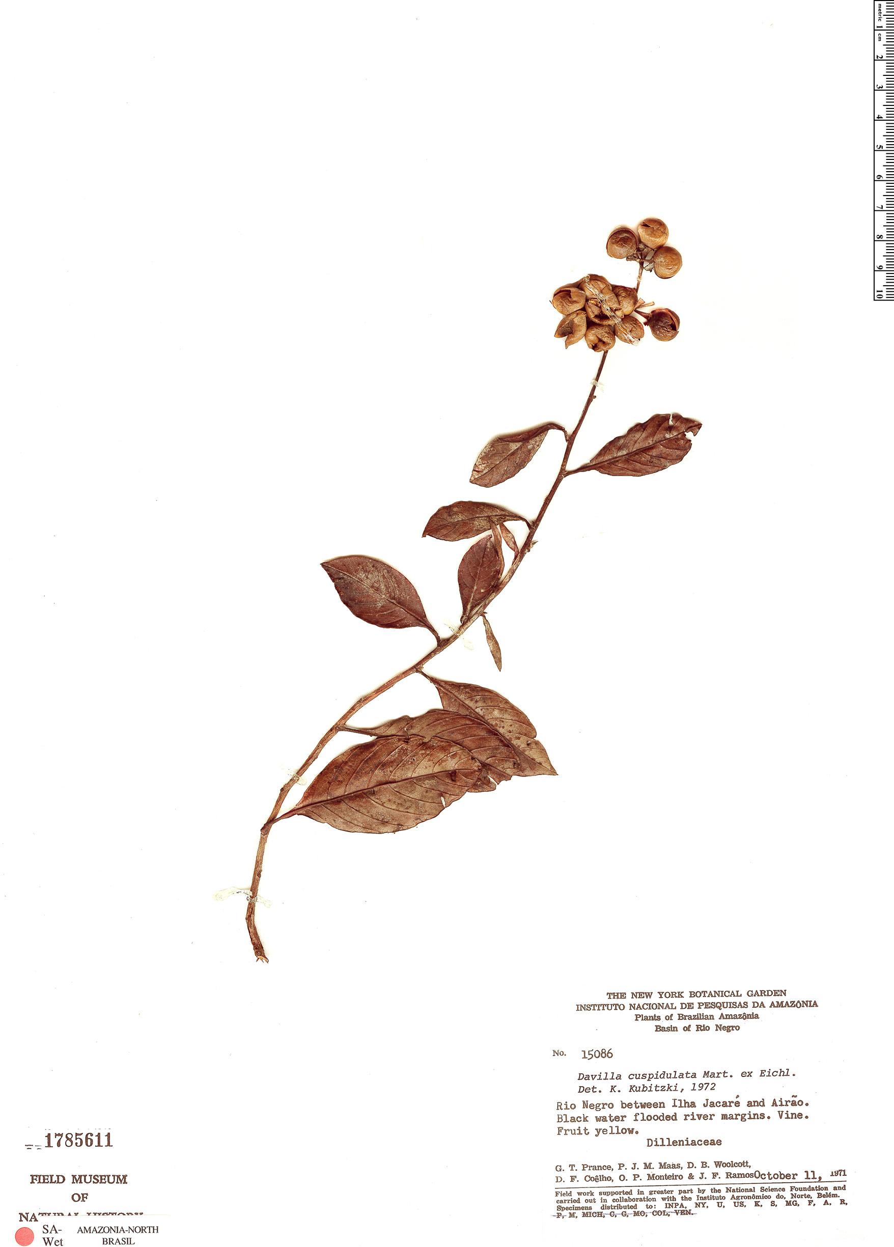 Specimen: Davilla cuspidulata
