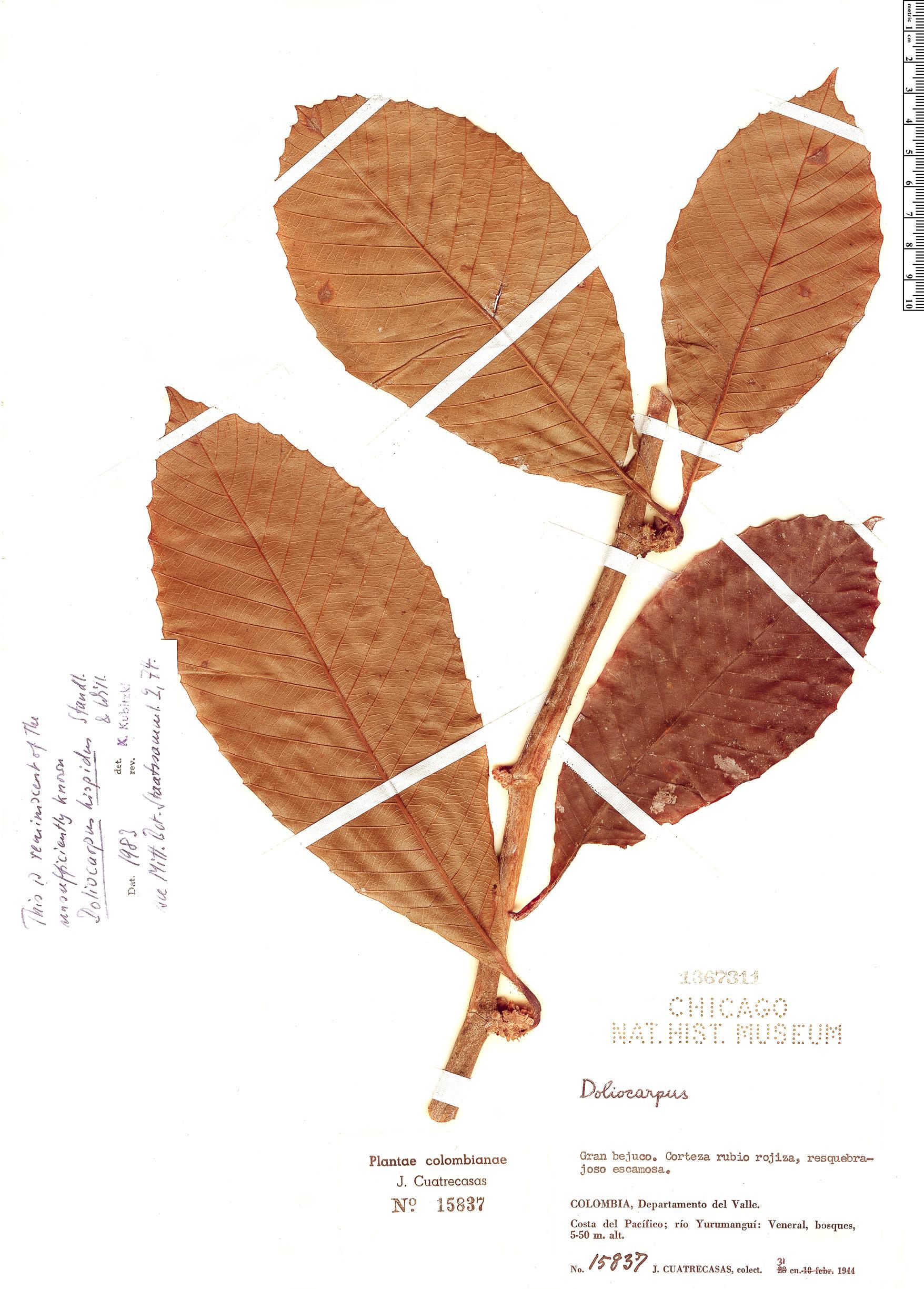 Specimen: Doliocarpus