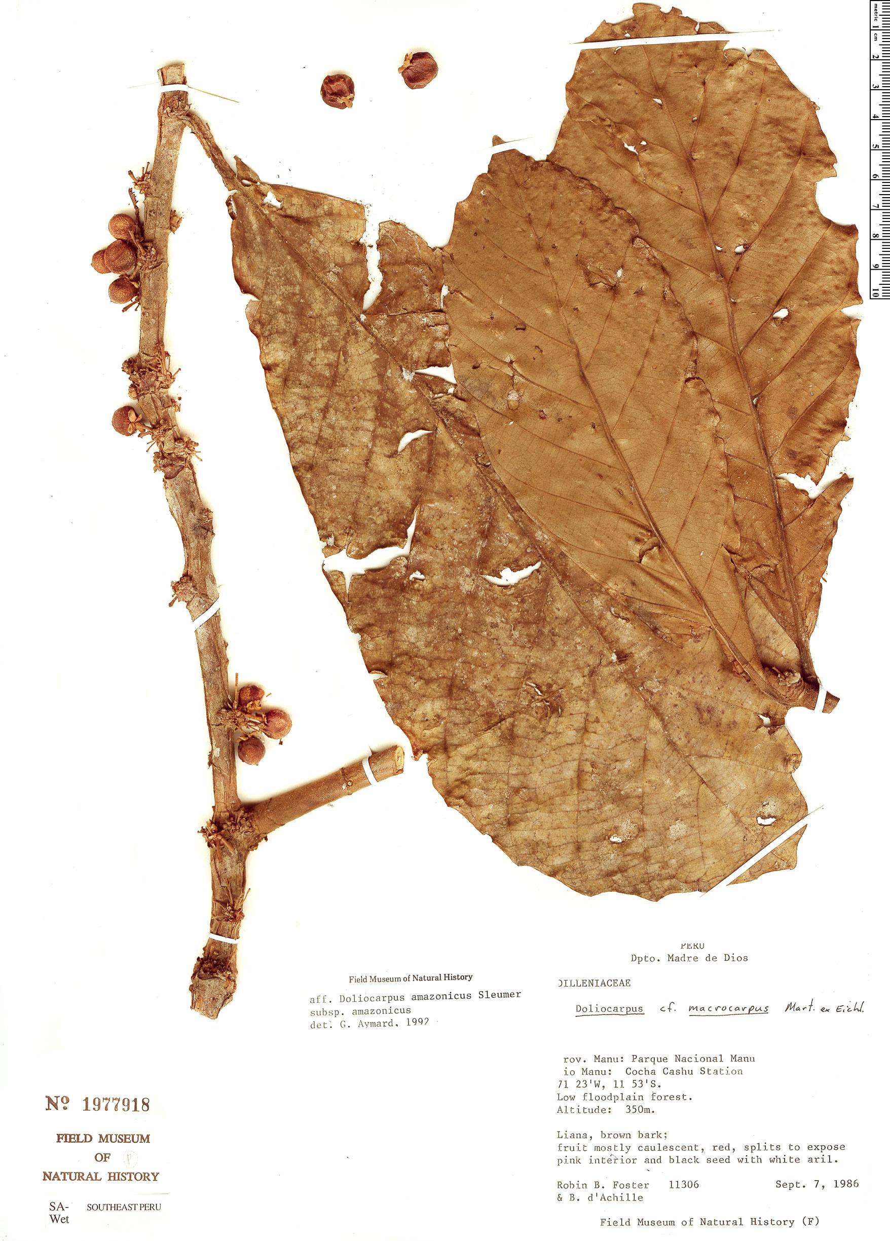 Specimen: Doliocarpus amazonicus