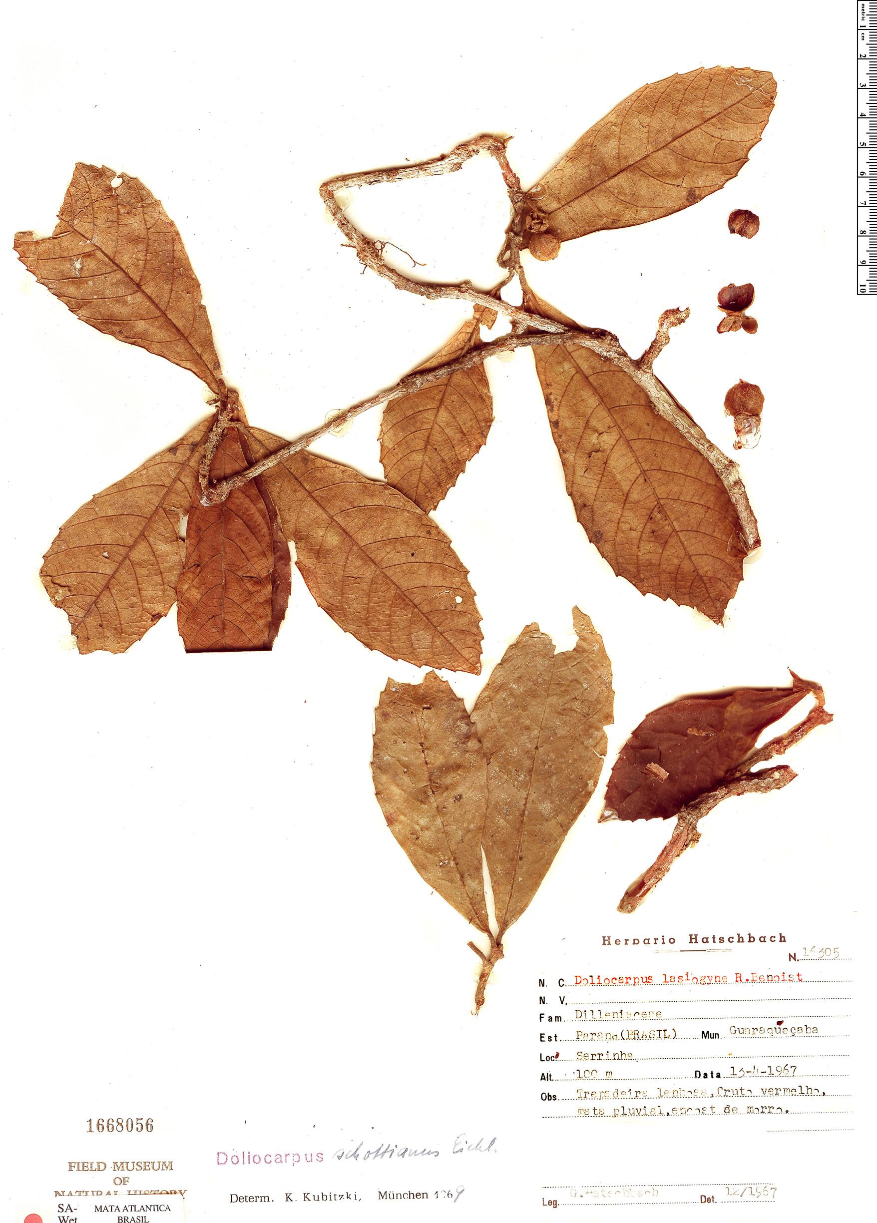 Specimen: Doliocarpus schottianus