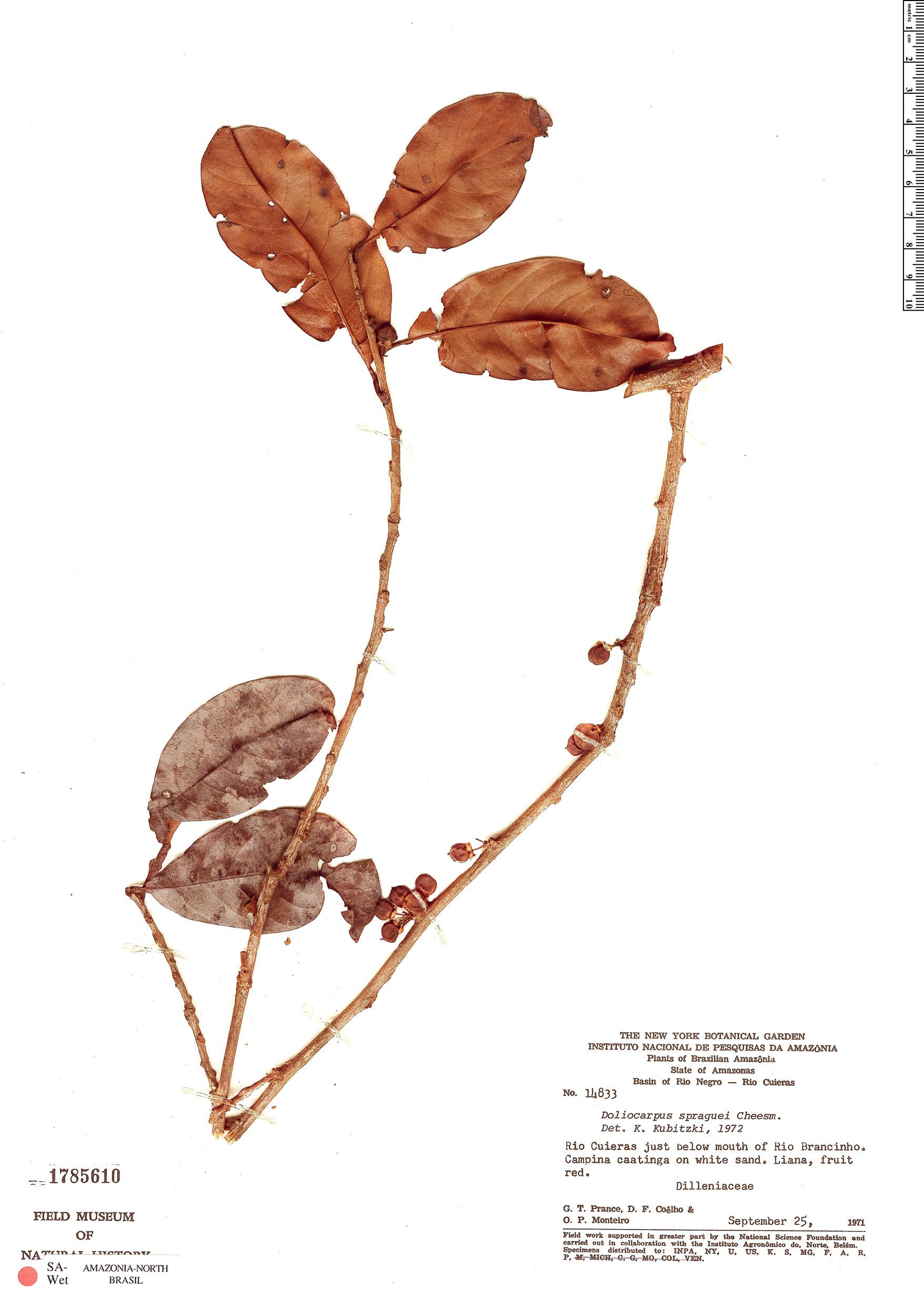 Espécime: Doliocarpus spraguei