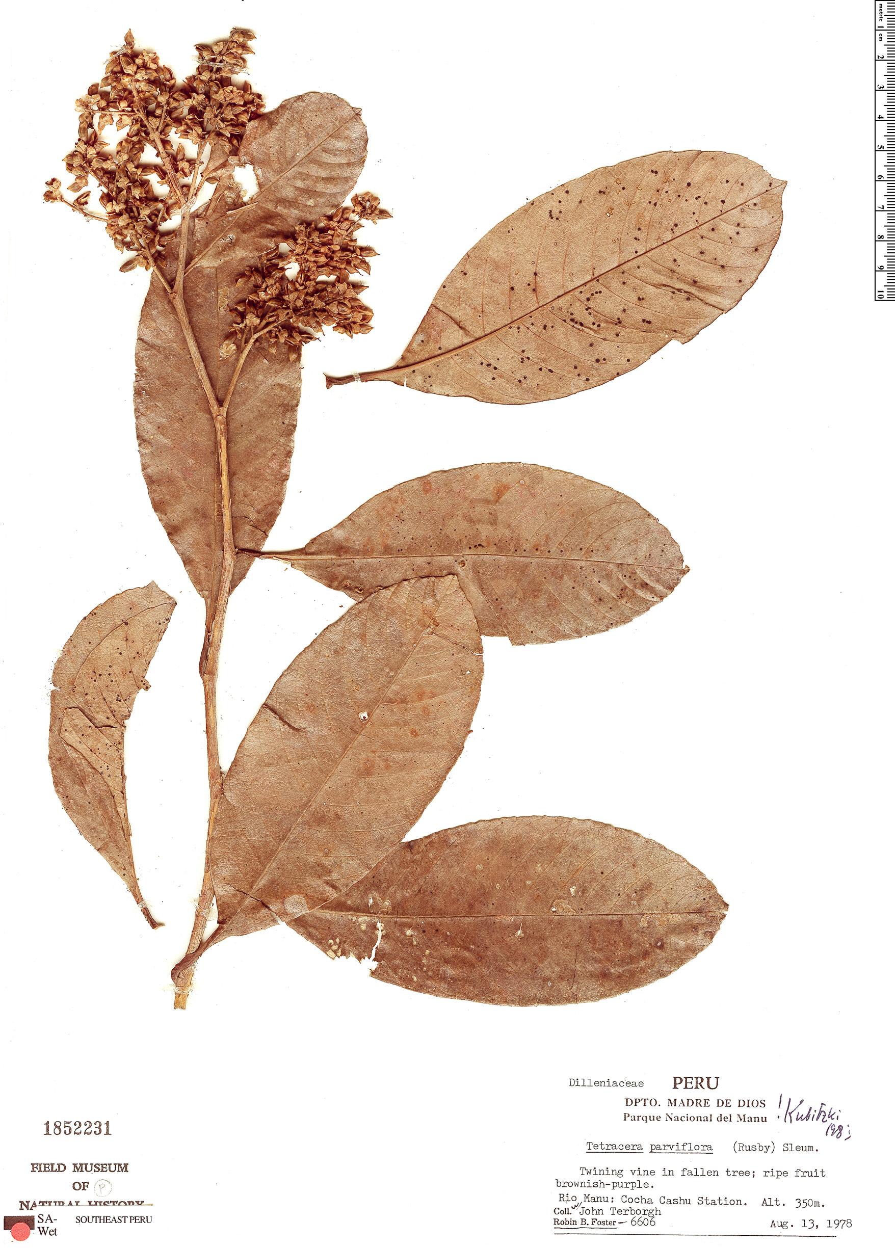 Specimen: Tetracera parviflora