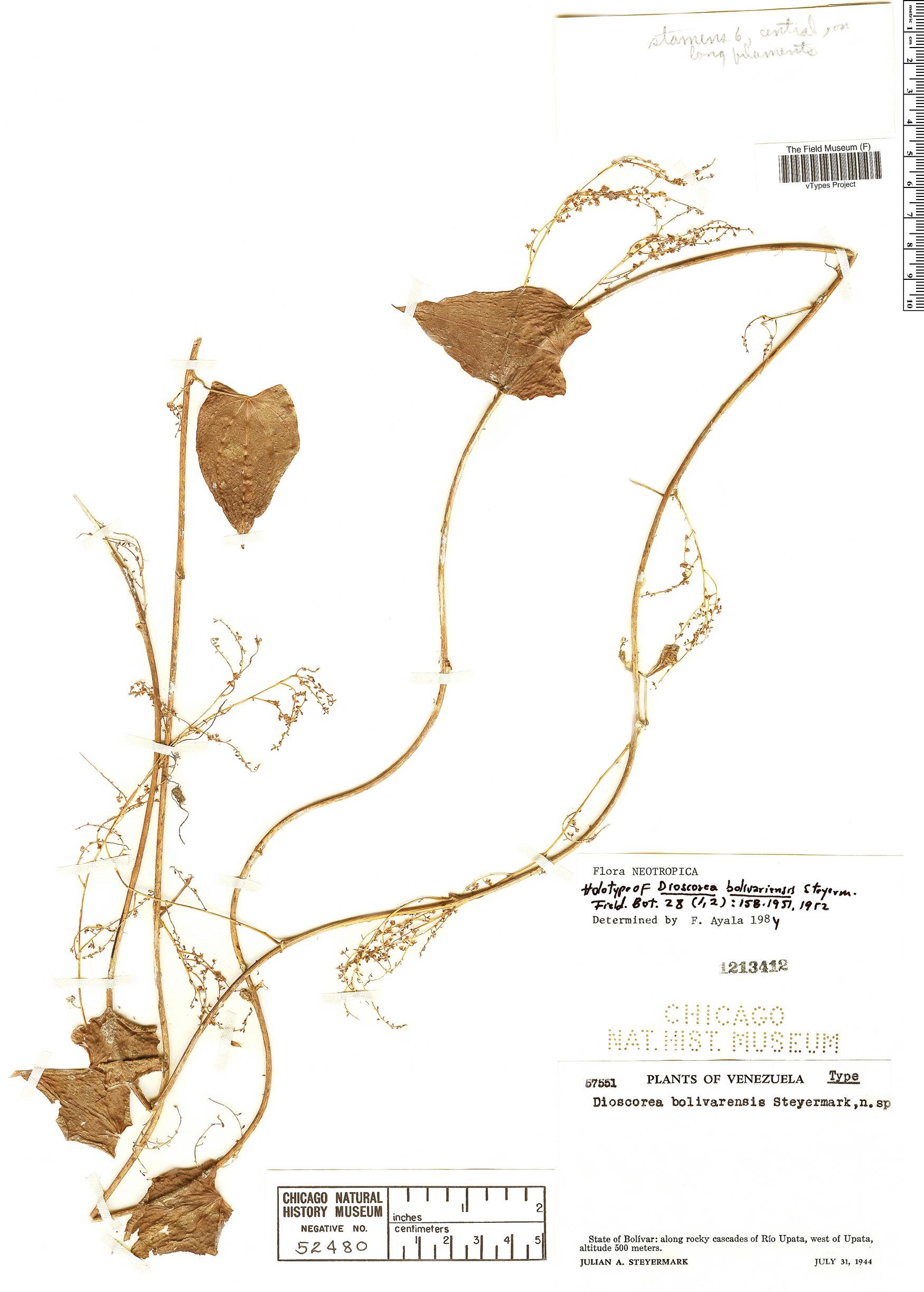 Specimen: Dioscorea bolivarensis