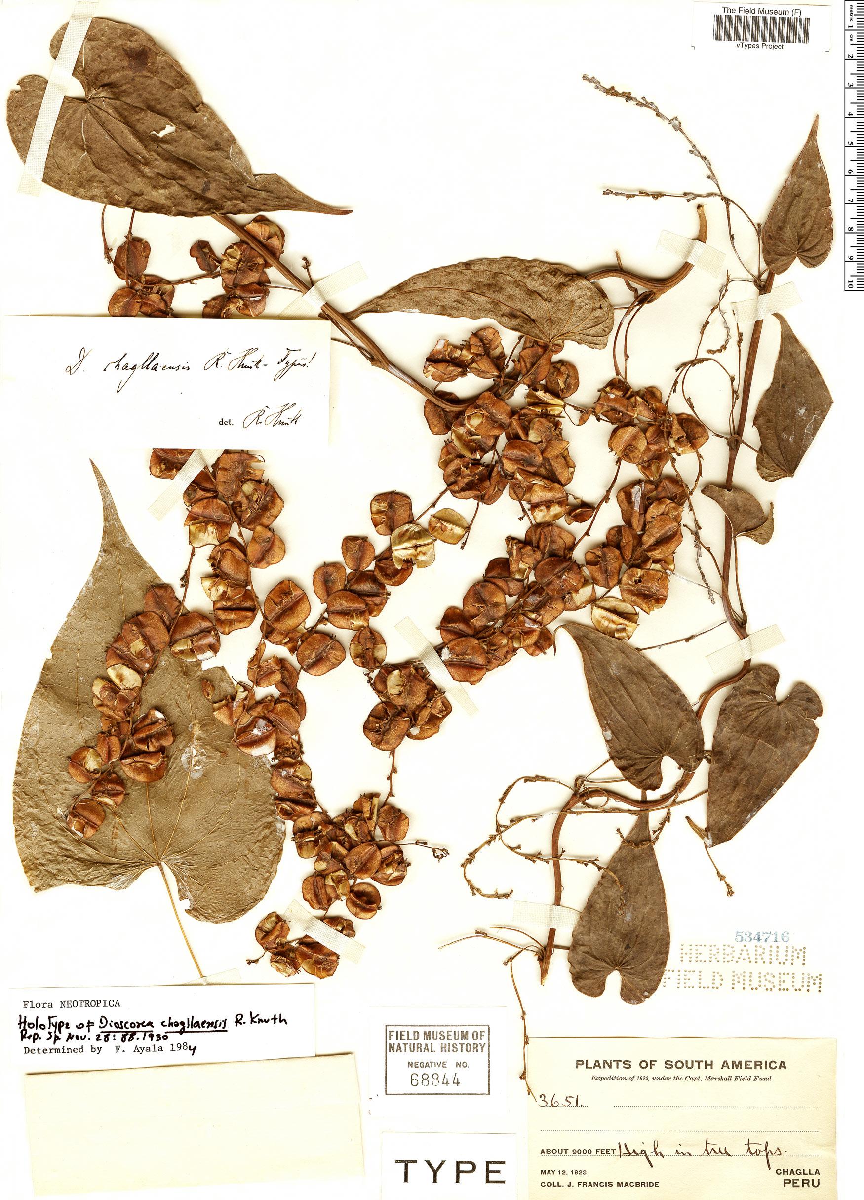 Espécime: Dioscorea chagllaensis