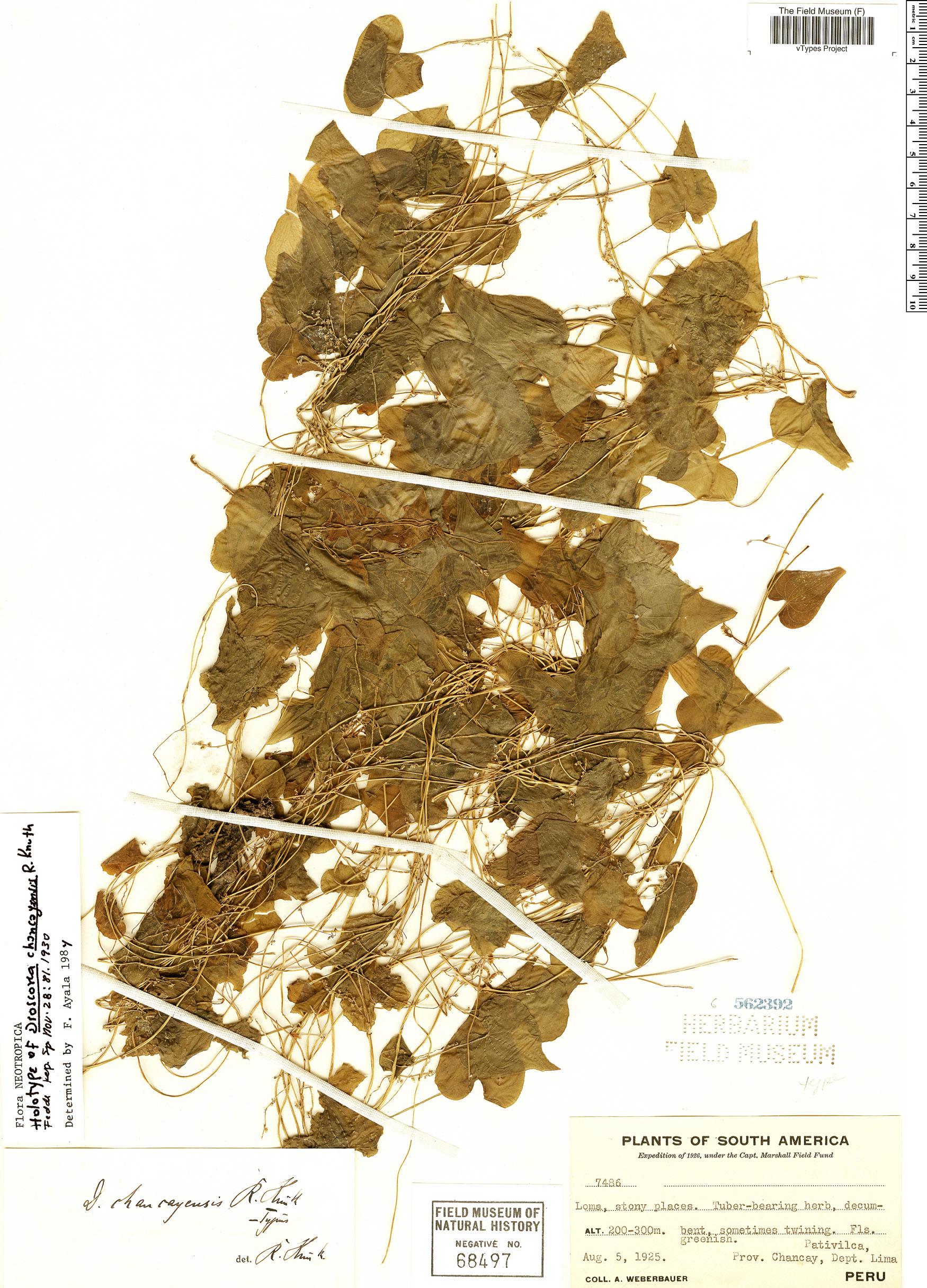 Specimen: Dioscorea chancayensis