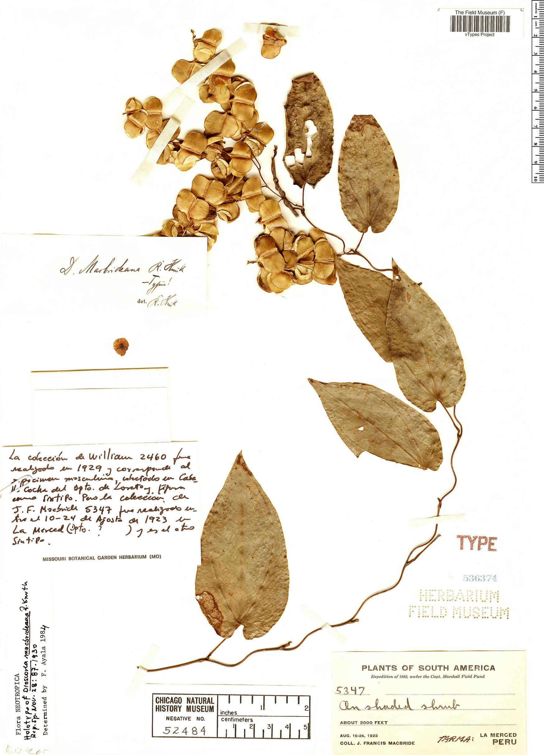 Specimen: Dioscorea macbrideana