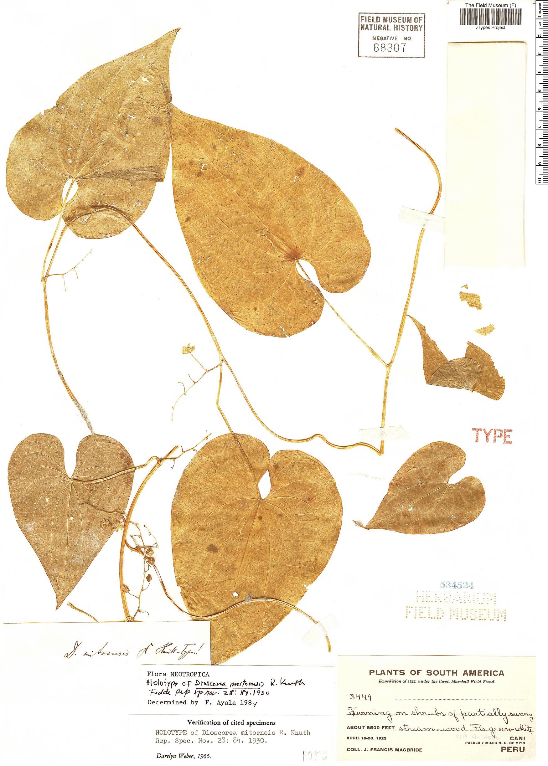 Espécime: Dioscorea mitoensis