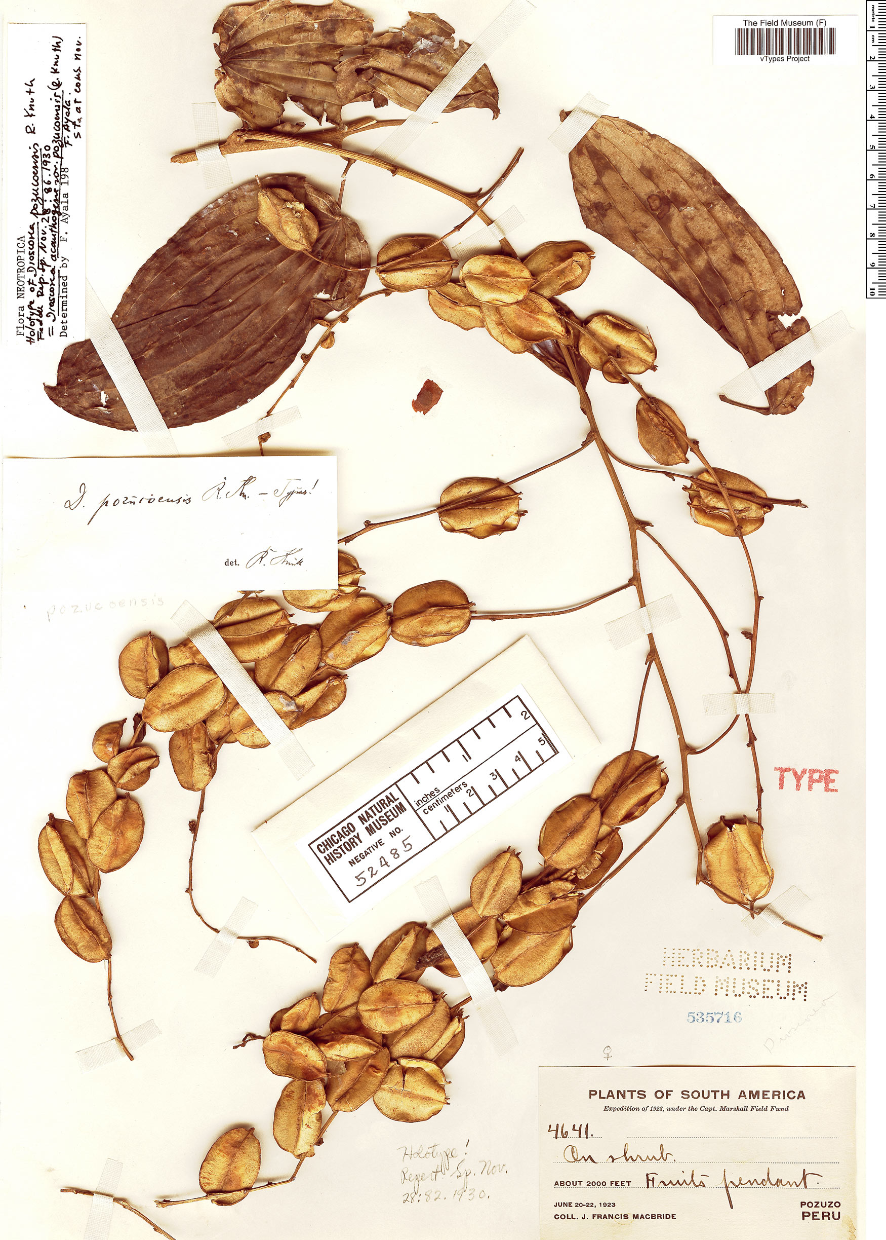 Specimen: Dioscorea acanthogene