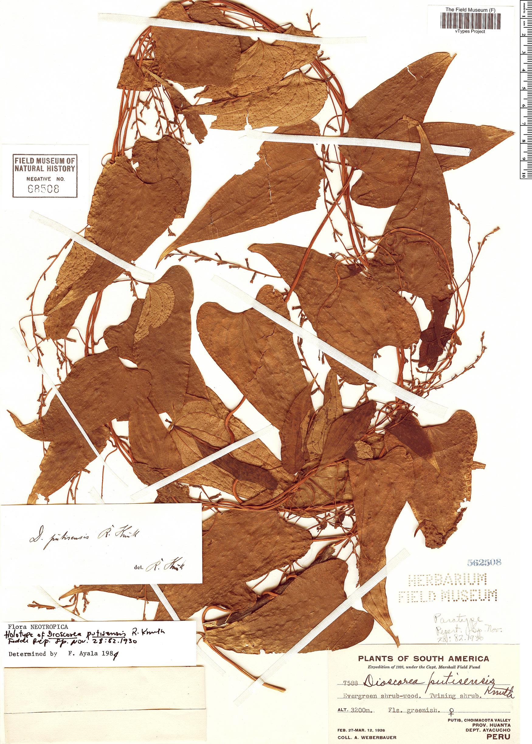 Espécimen: Dioscorea putisensis