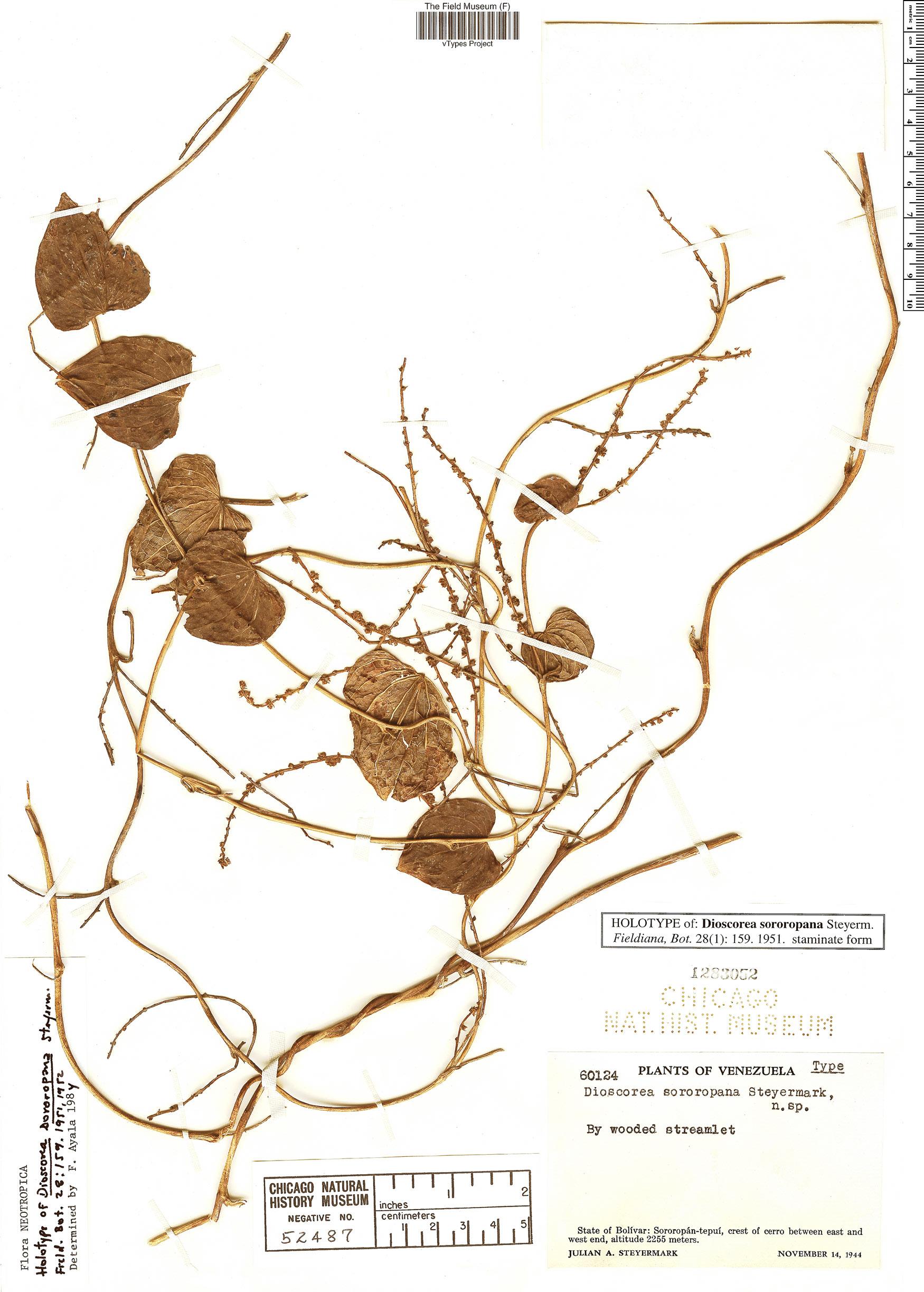 Specimen: Dioscorea sororopana
