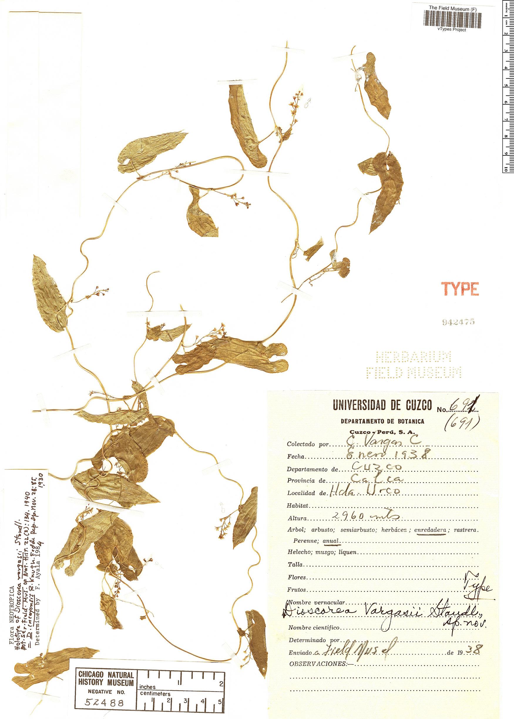 Specimen: Dioscorea vargasii