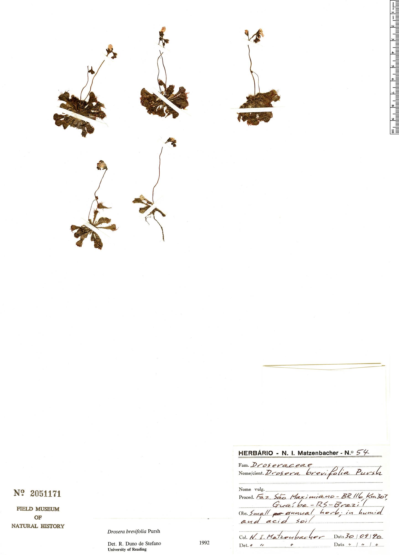 Specimen: Drosera brevifolia