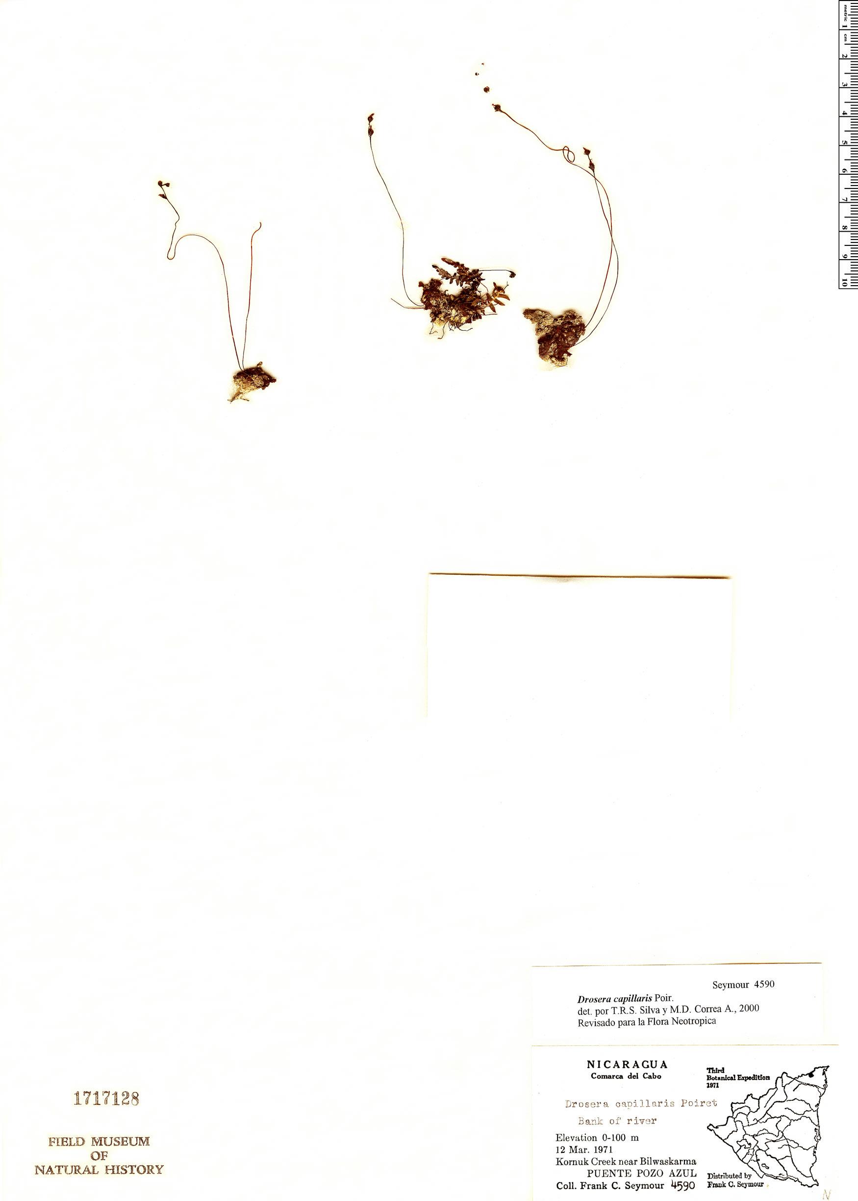 Specimen: Drosera capillaris