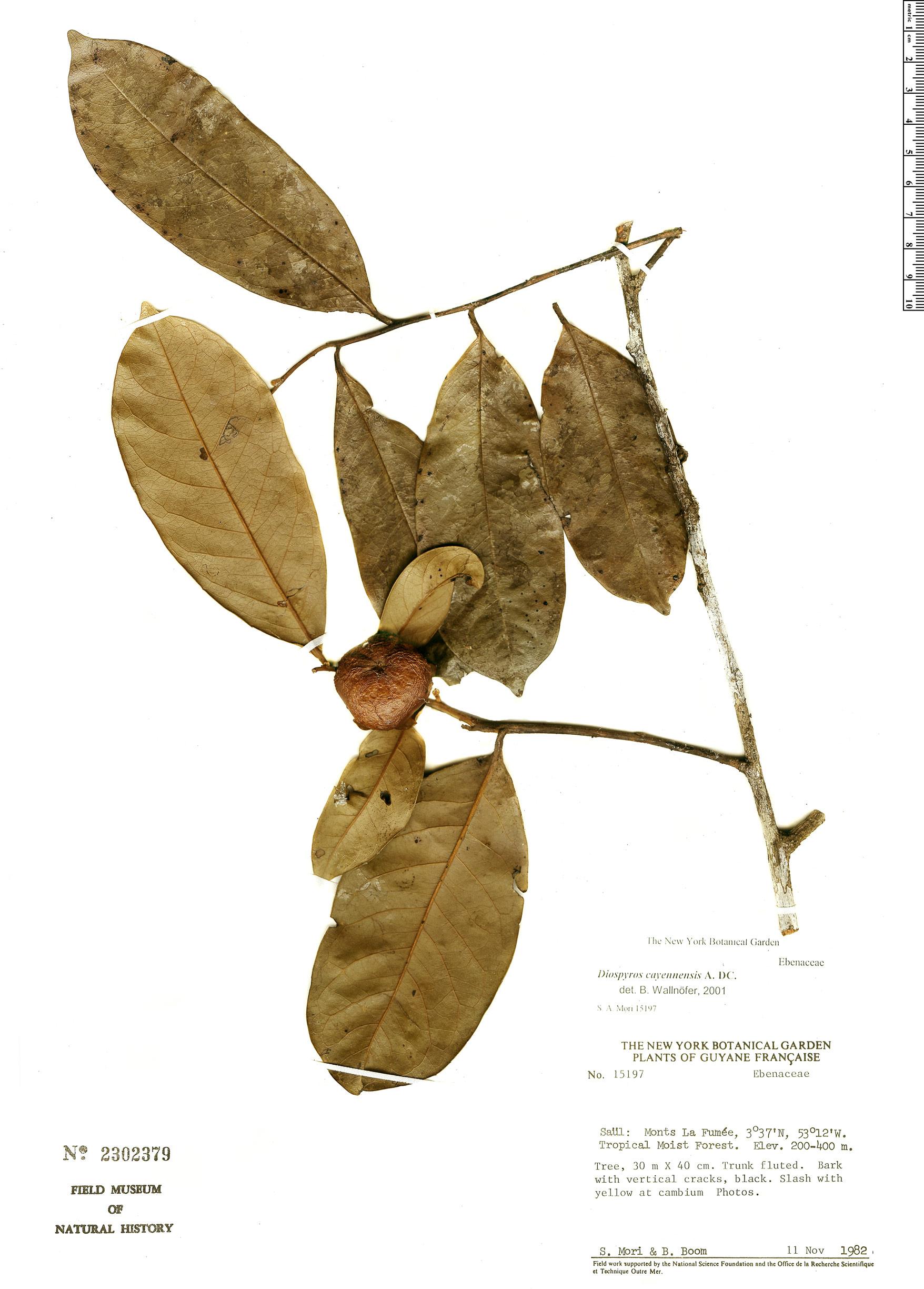 Specimen: Diospyros cayennensis