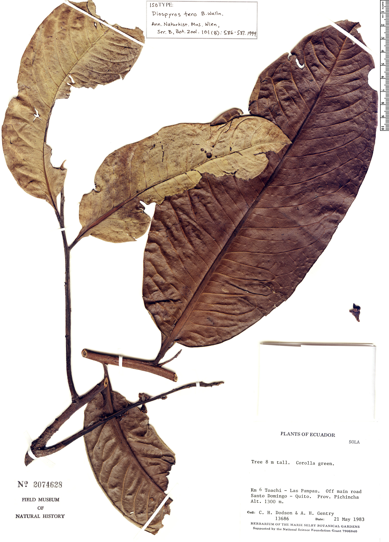Espécimen: Diospyros tero