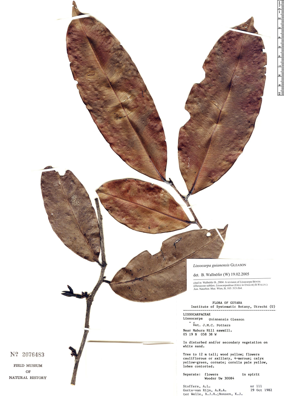 Specimen: Lissocarpa guianensis