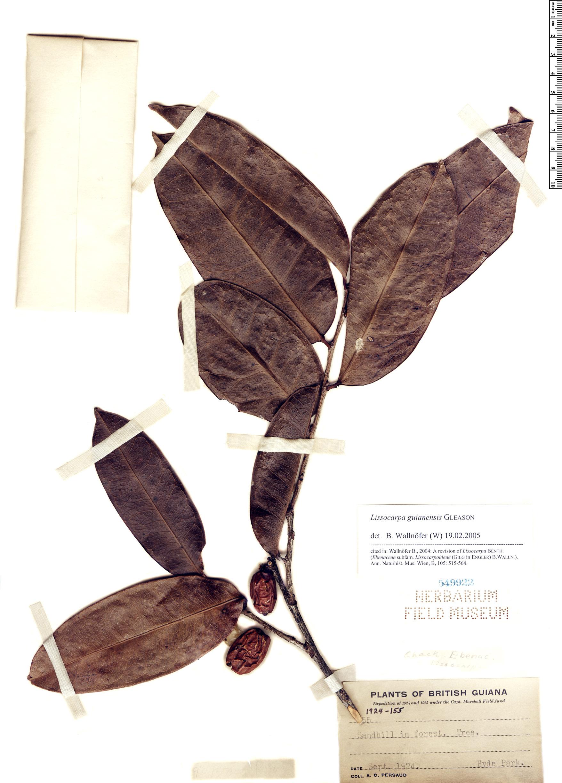 Espécime: Lissocarpa guianensis