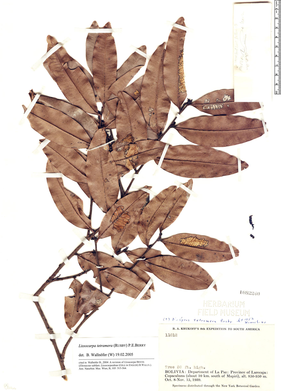 Specimen: Lissocarpa tetramera