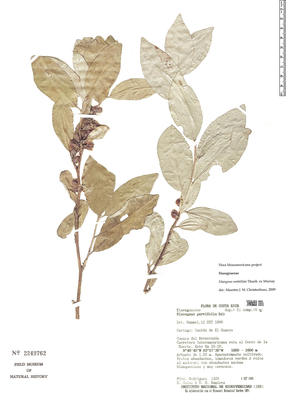Specimen: Elaeagnus umbellata
