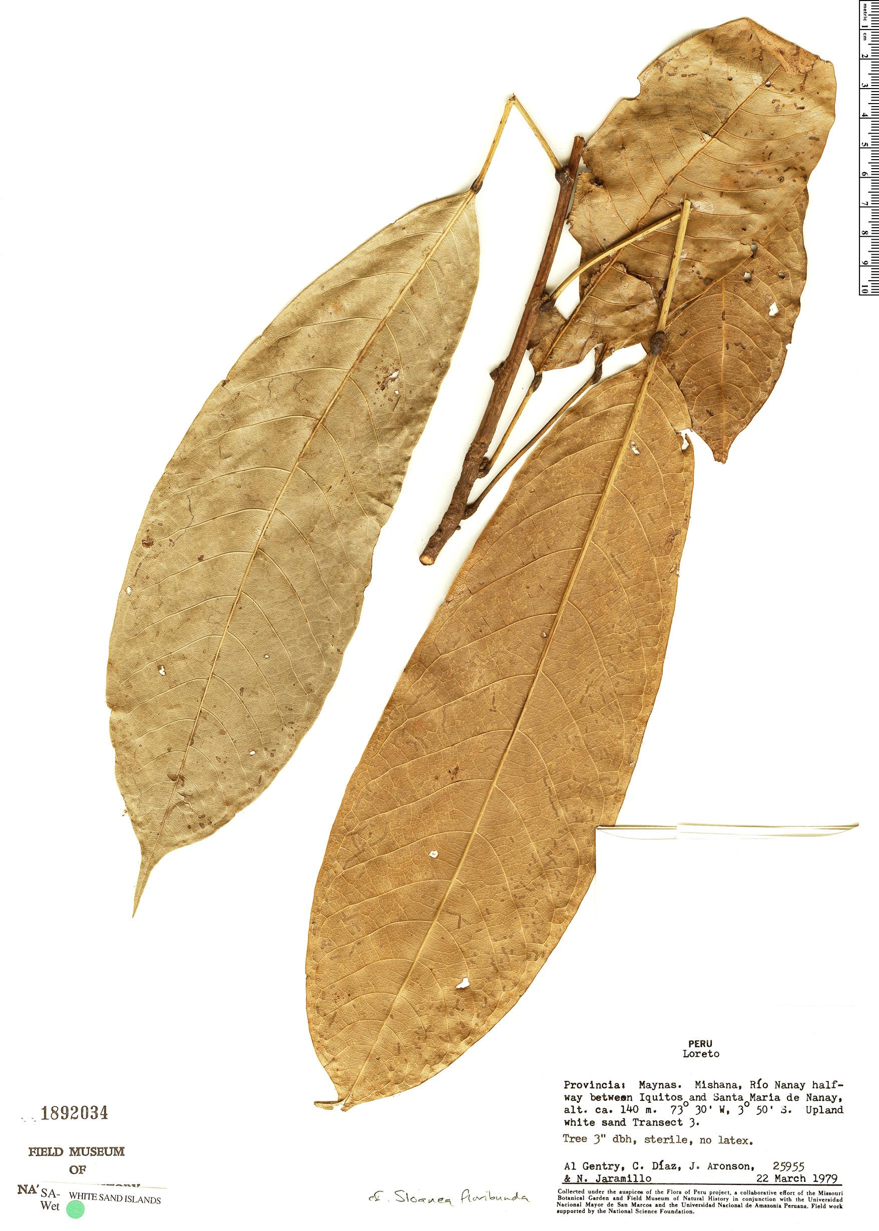 Specimen: Sloanea floribunda