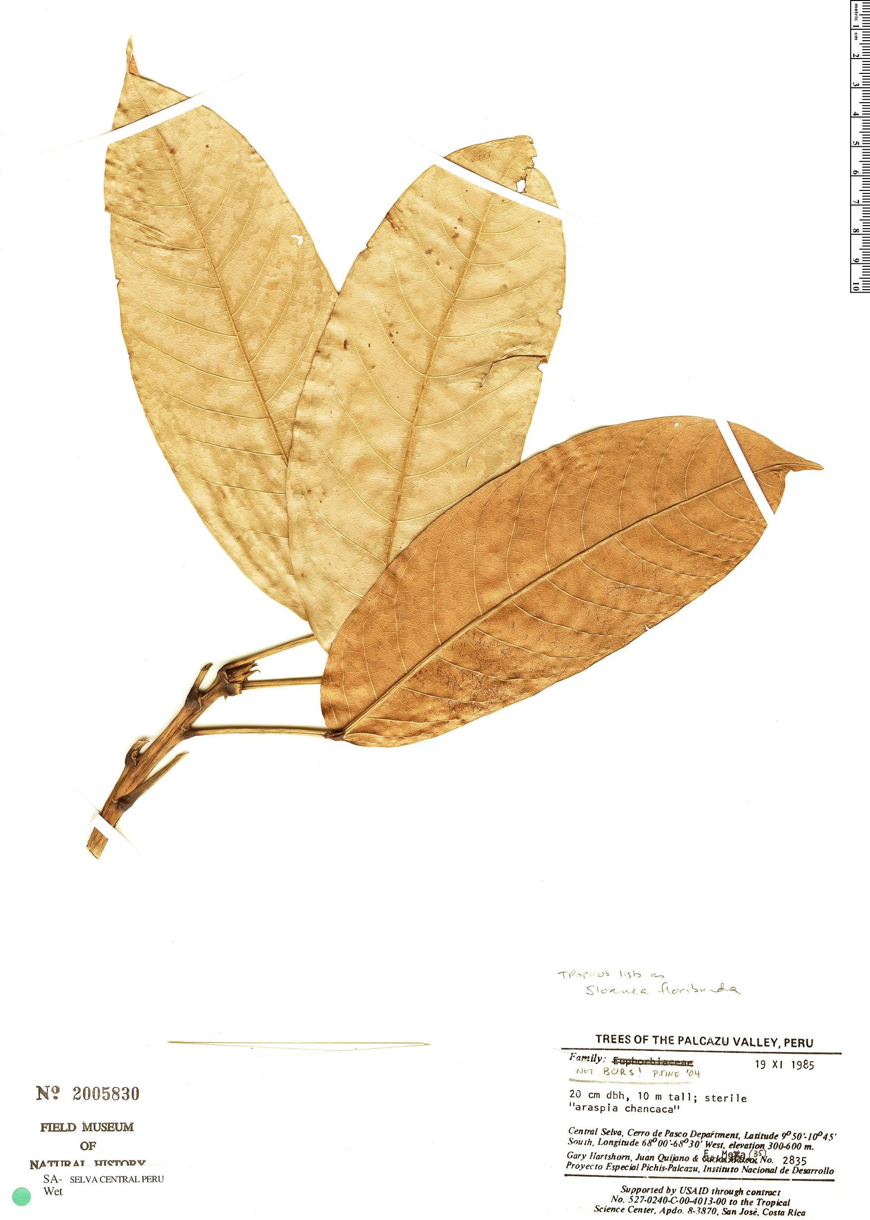 Espécimen: Sloanea floribunda